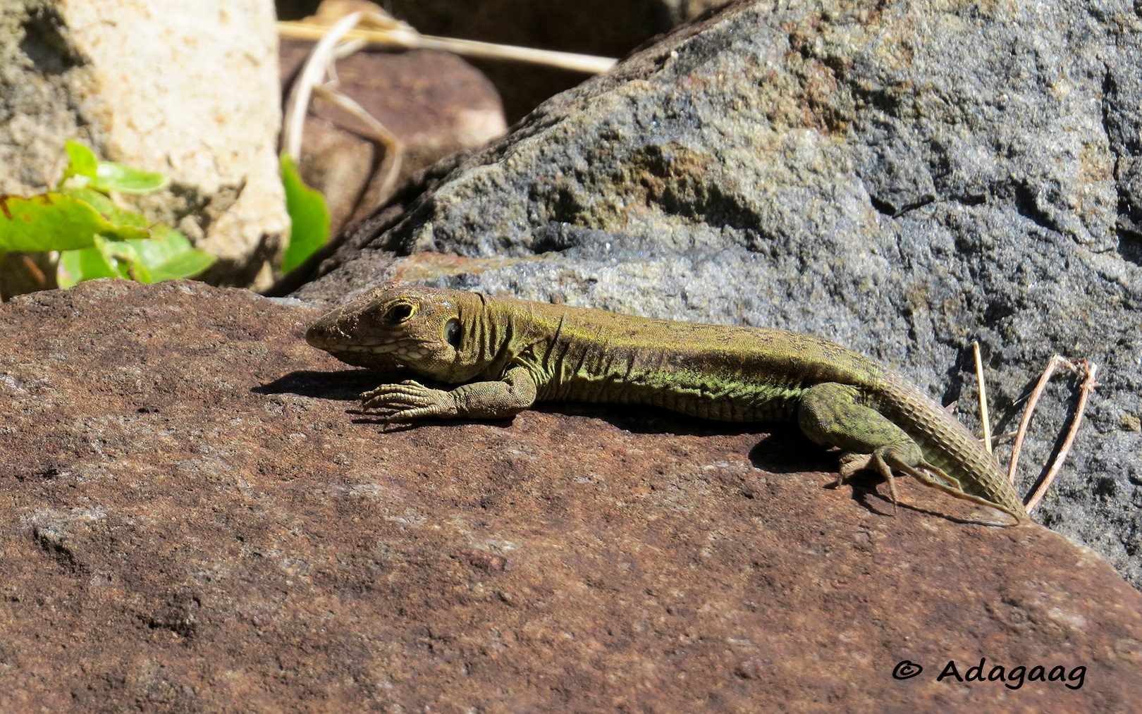 A lizard with camouflage colours by adagaag