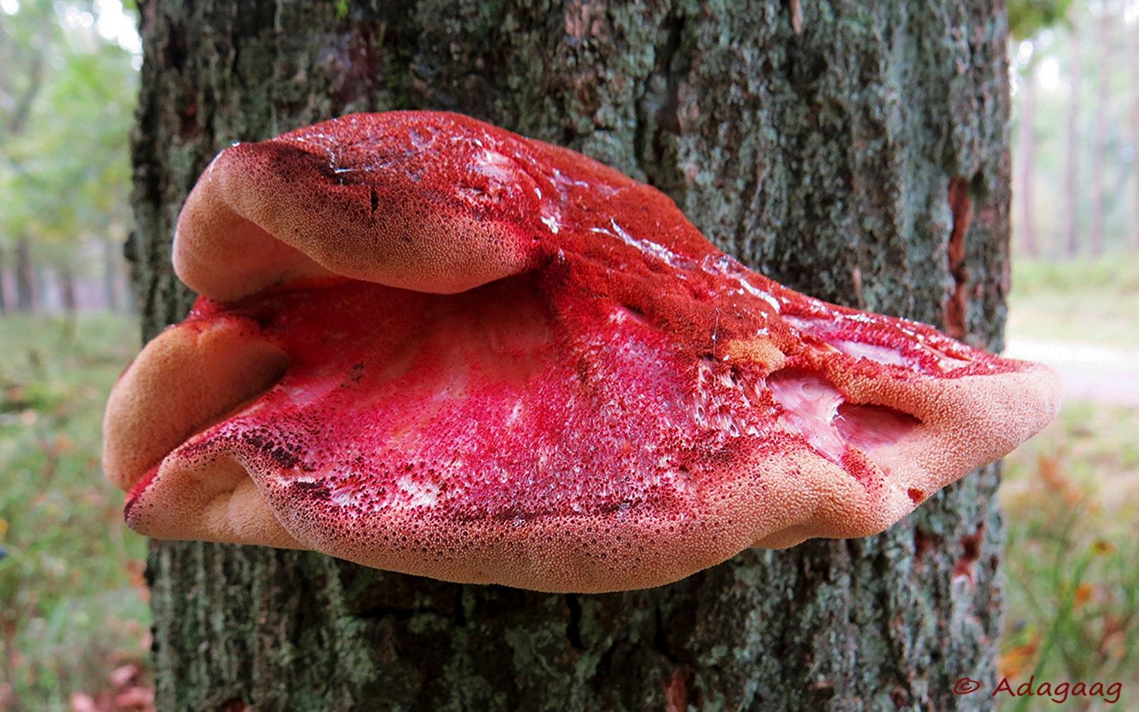 Steak mushroom by adagaag