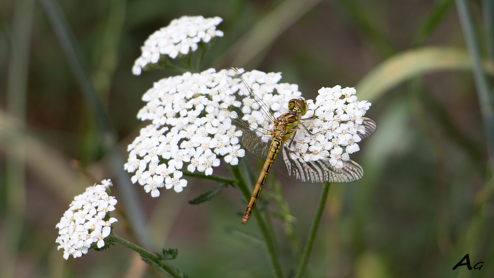 Dragonfly loves white by adagaag