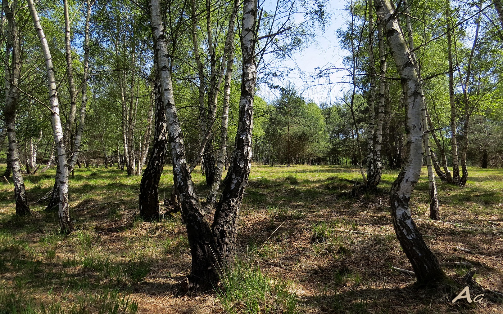 Birch forest Gildehauser Venn Bentheim by adagaag