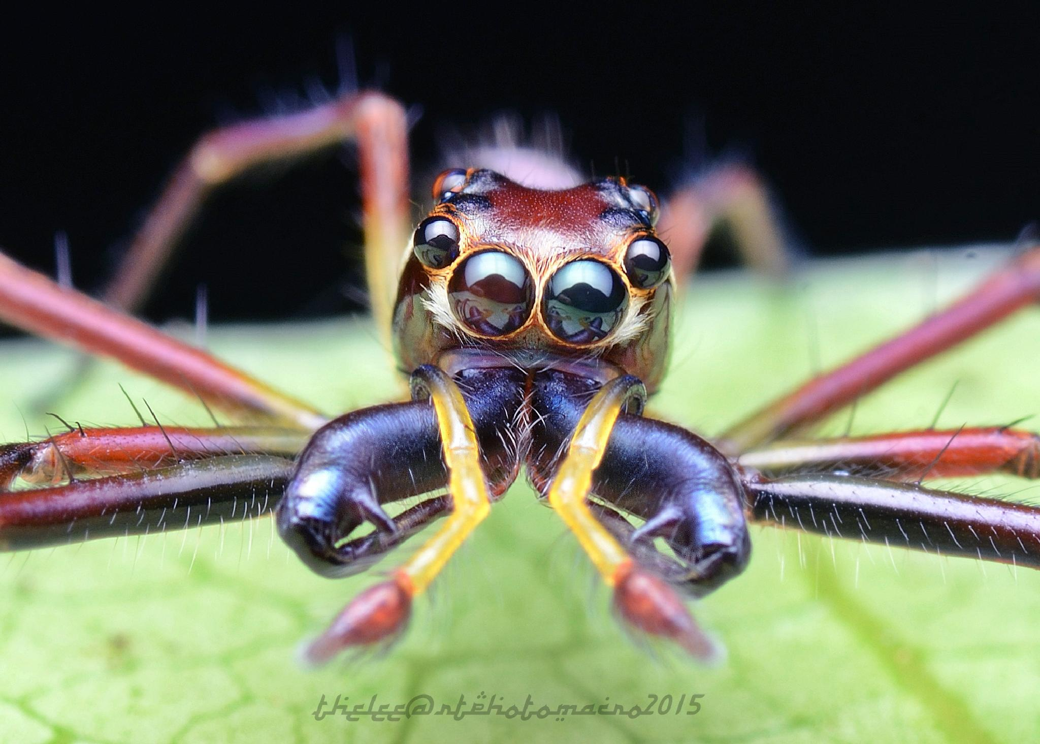 wide jawed viciria jumping spider by Mohd adli Bin Udin