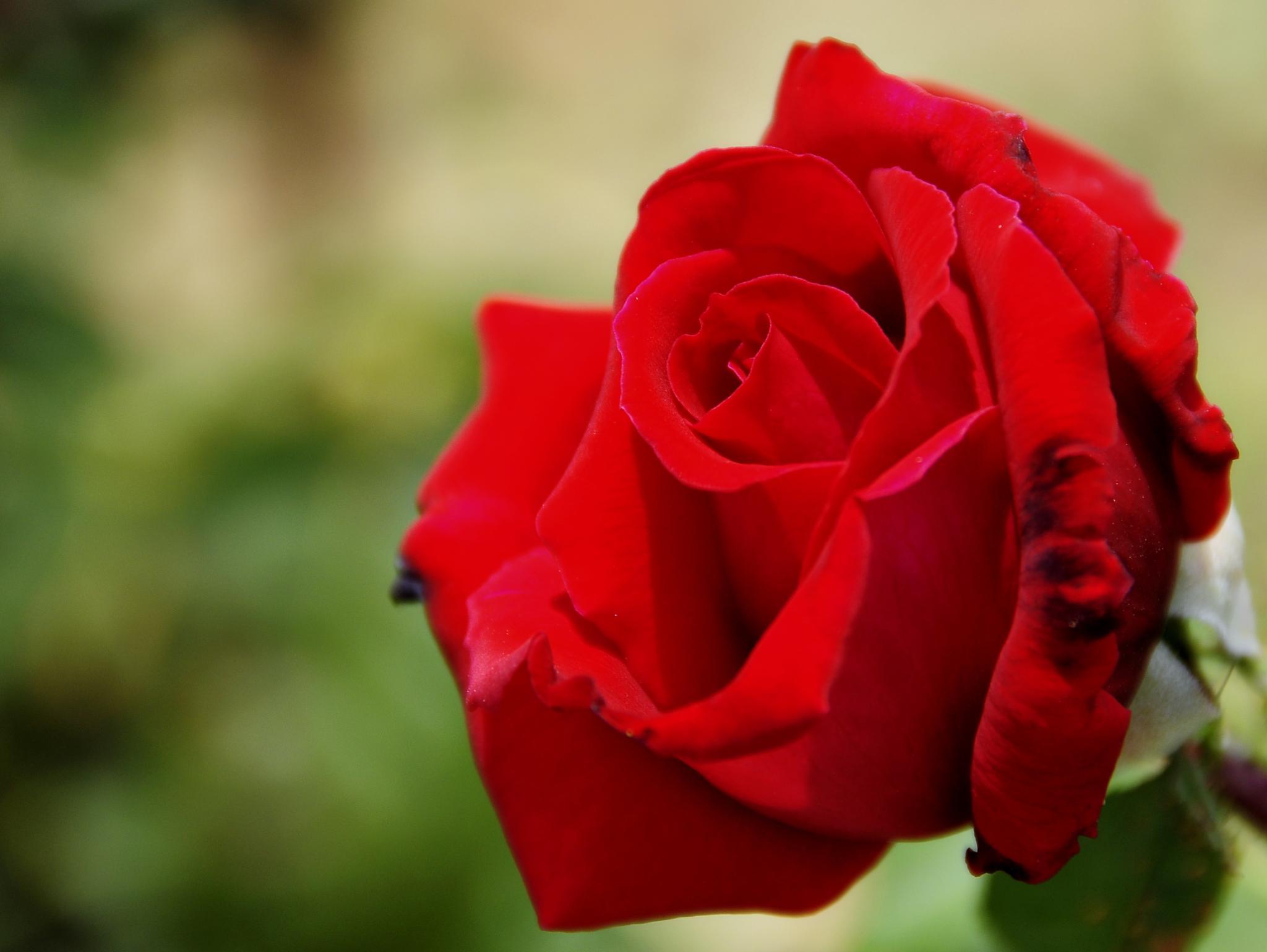 rojo by angelgarcia