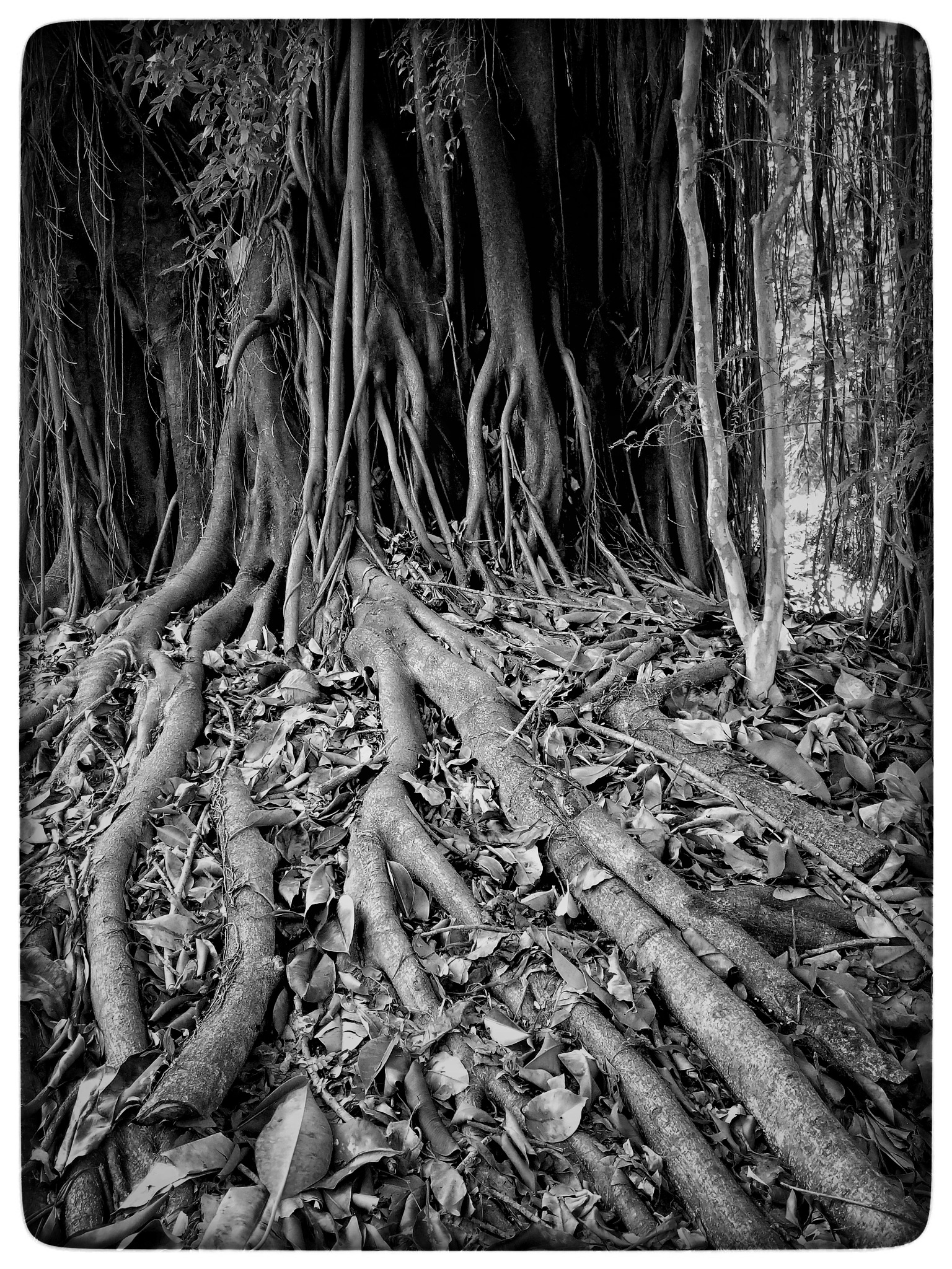 roots by moliv