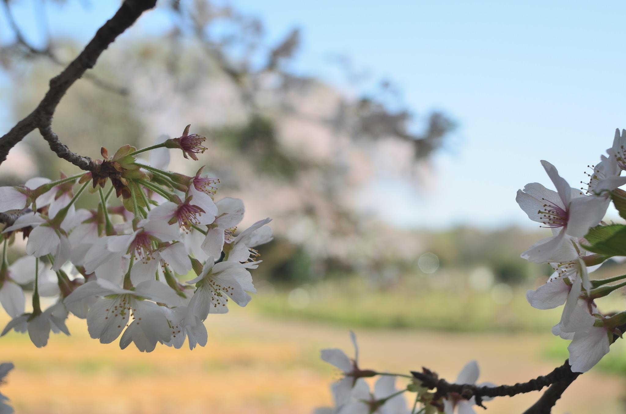 sakura by Masahiro  Asano