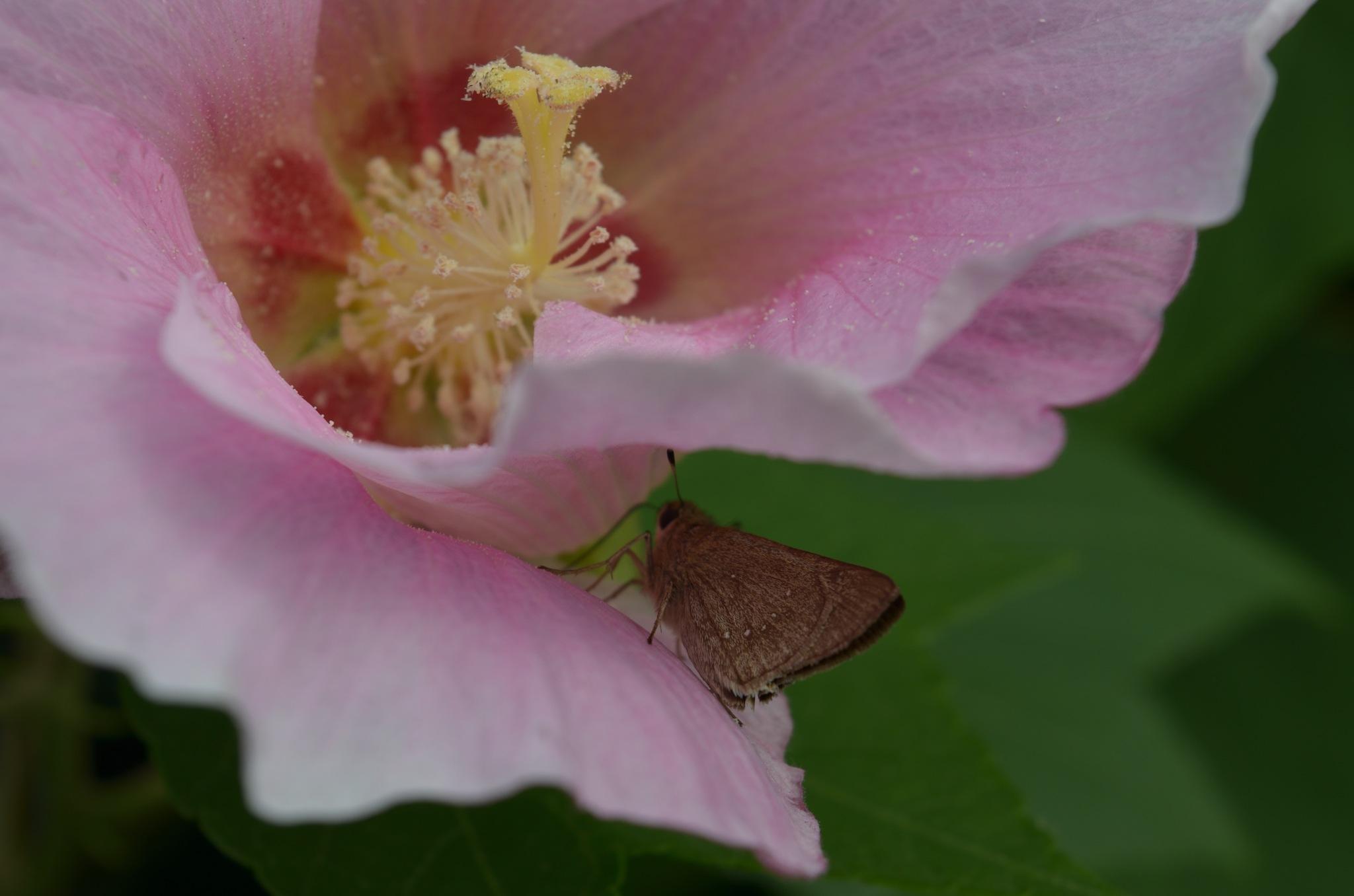 Cotton rose by Masahiro  Asano