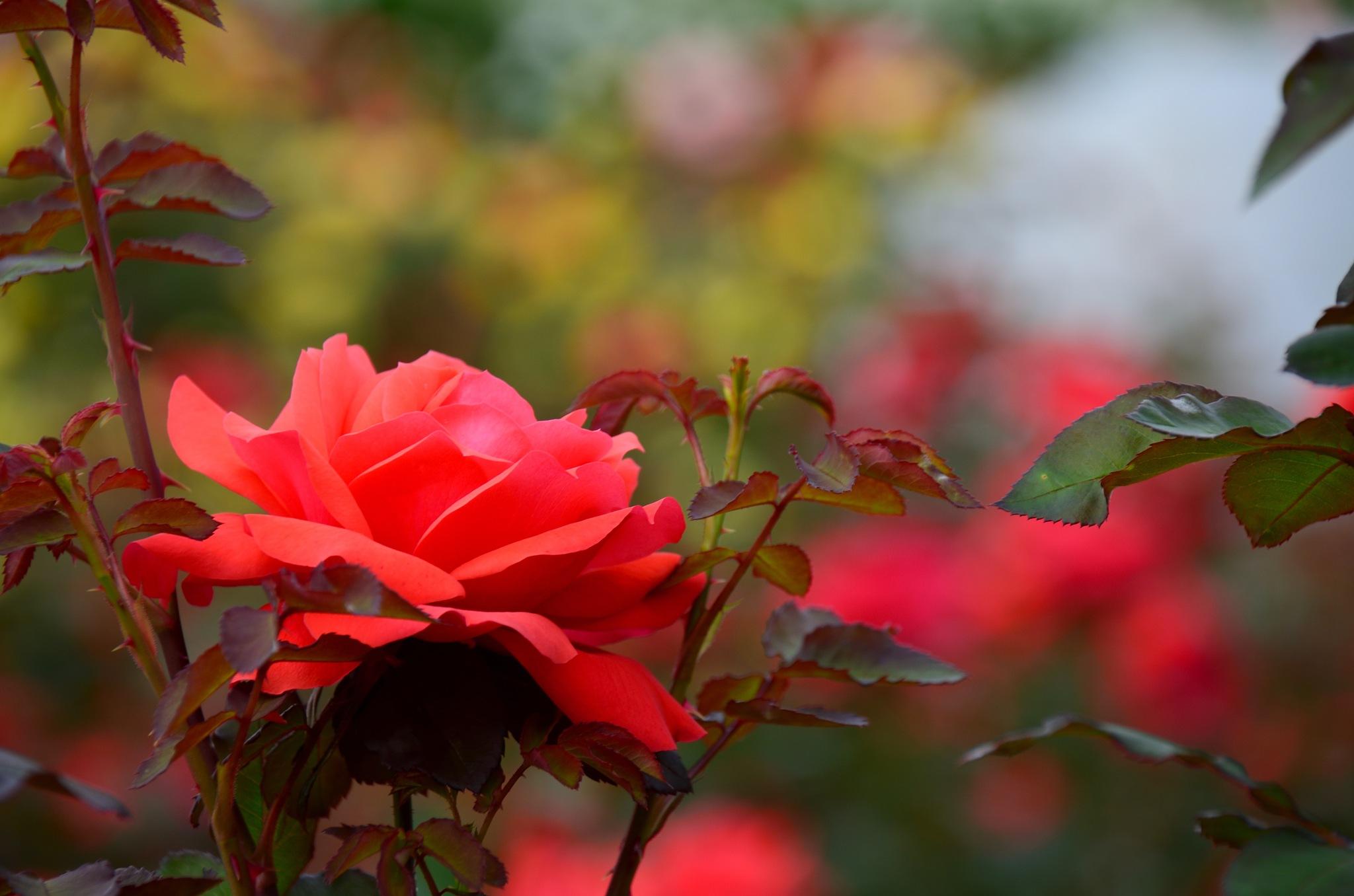 rose garden by Masahiro  Asano