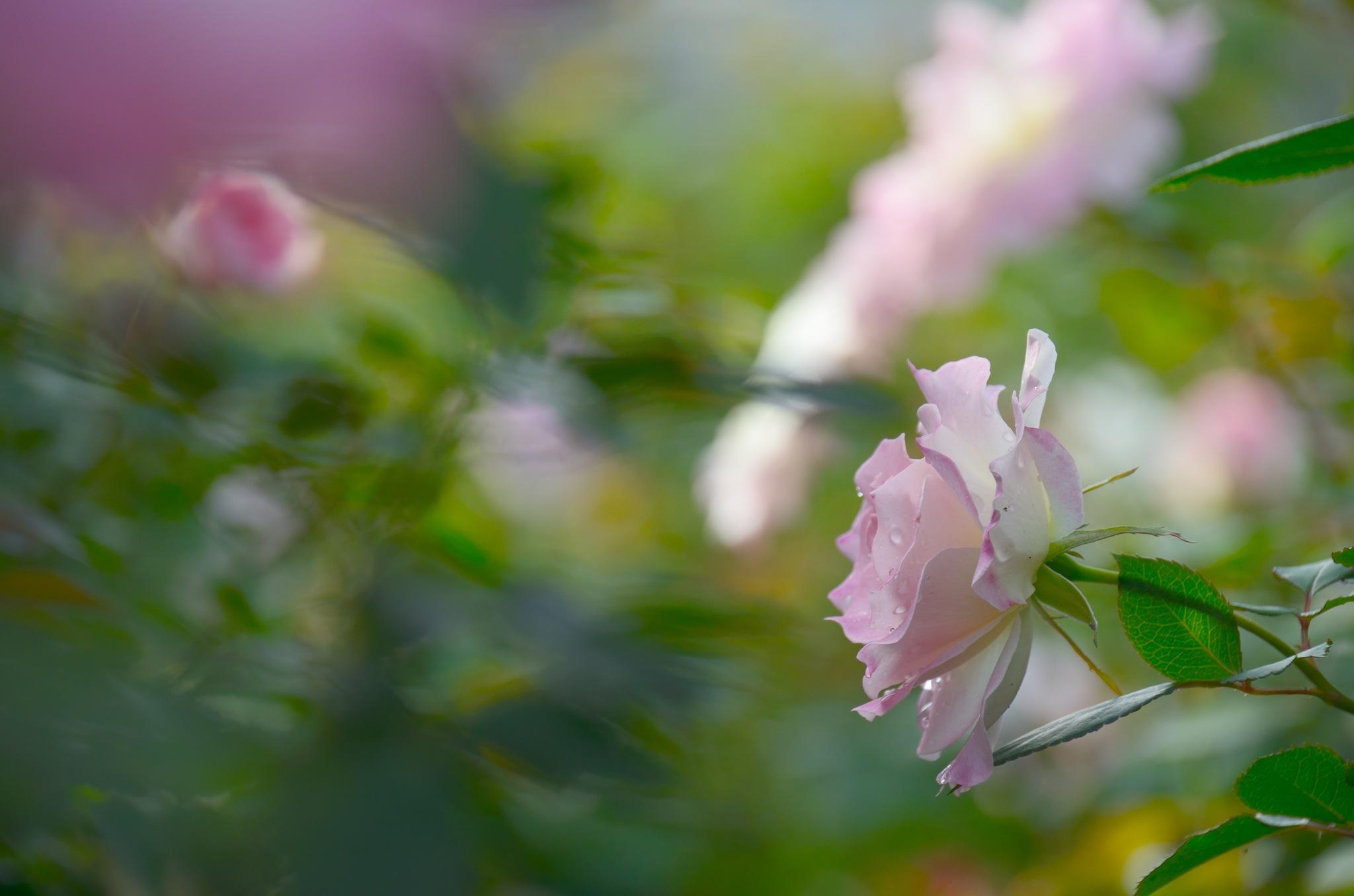 pink roses by Masahiro  Asano
