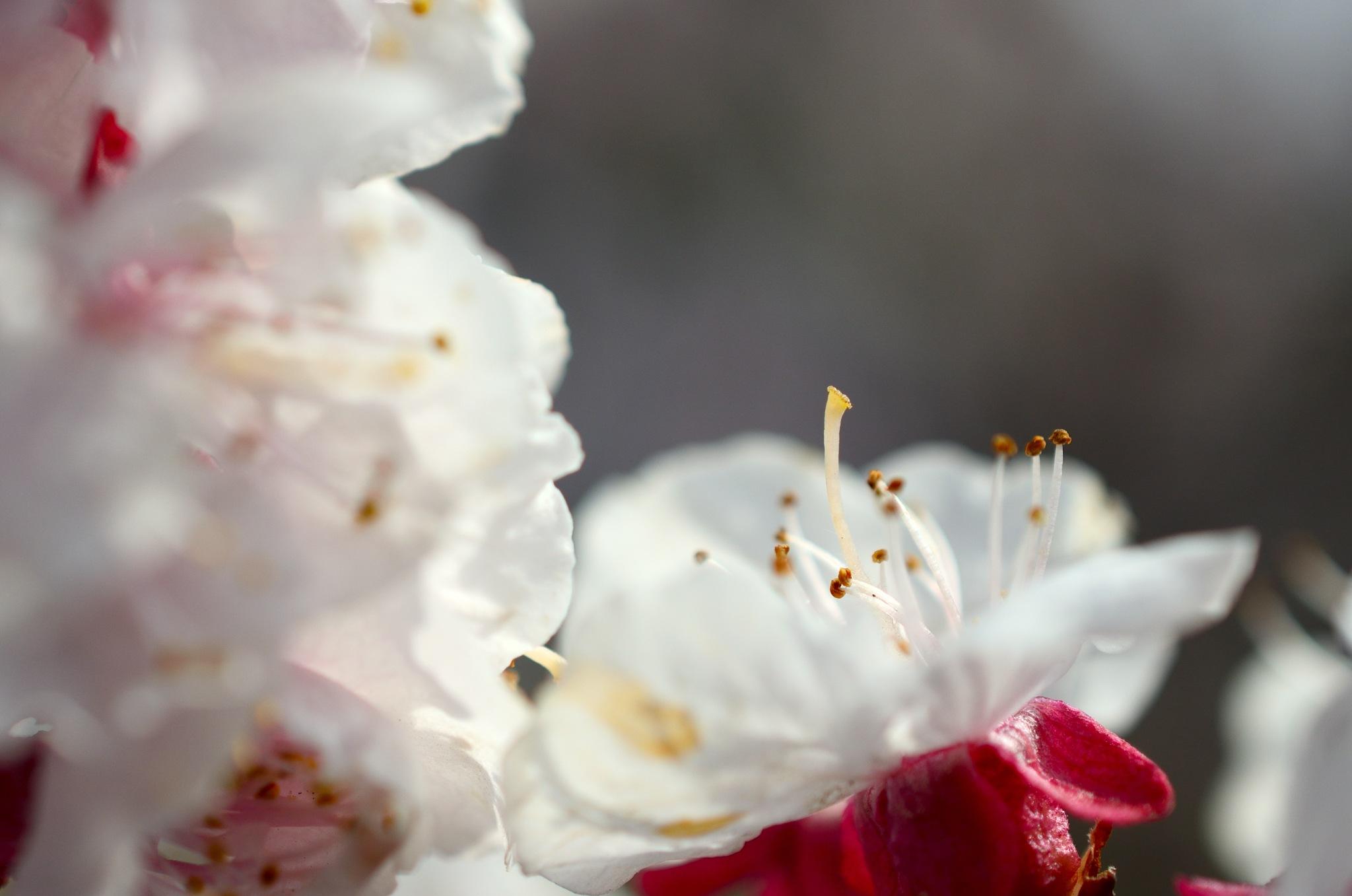 apricot by Masahiro  Asano