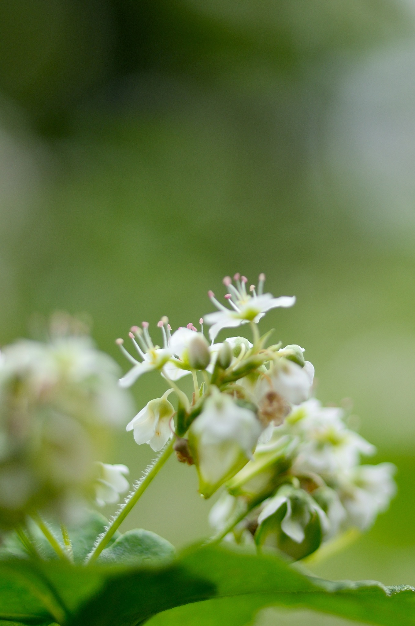 Buckwheat take2 by Masahiro  Asano