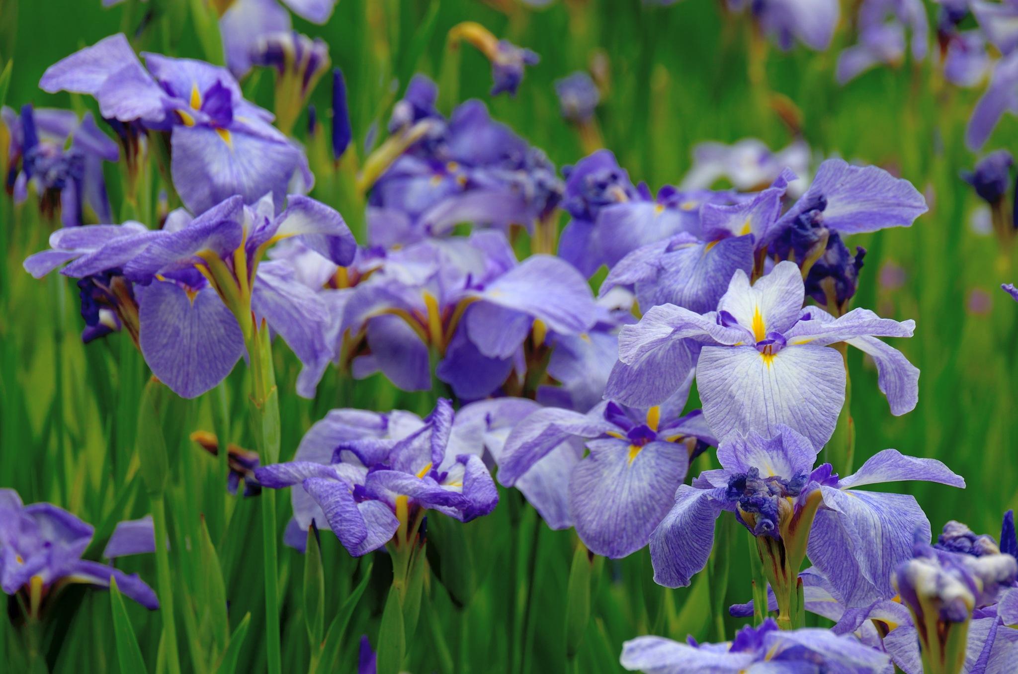 Iris take3 by Masahiro  Asano