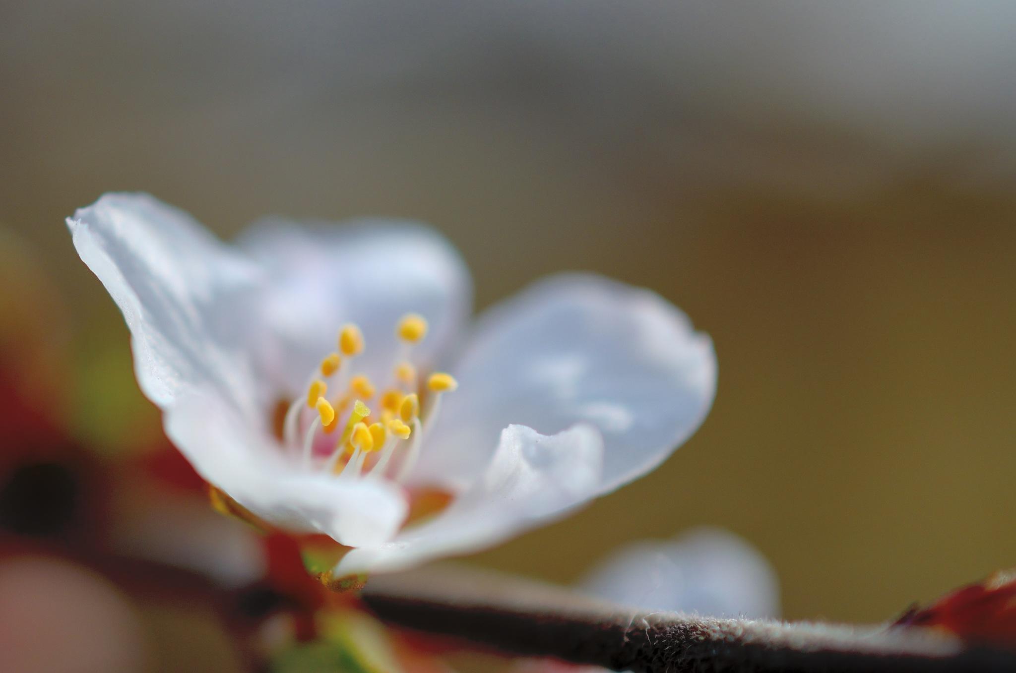 cherry by Masahiro  Asano