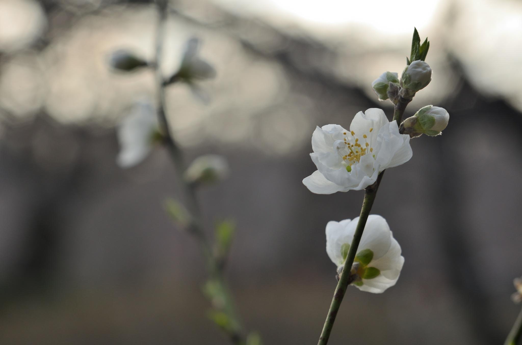 Flowering peach trees by Masahiro  Asano