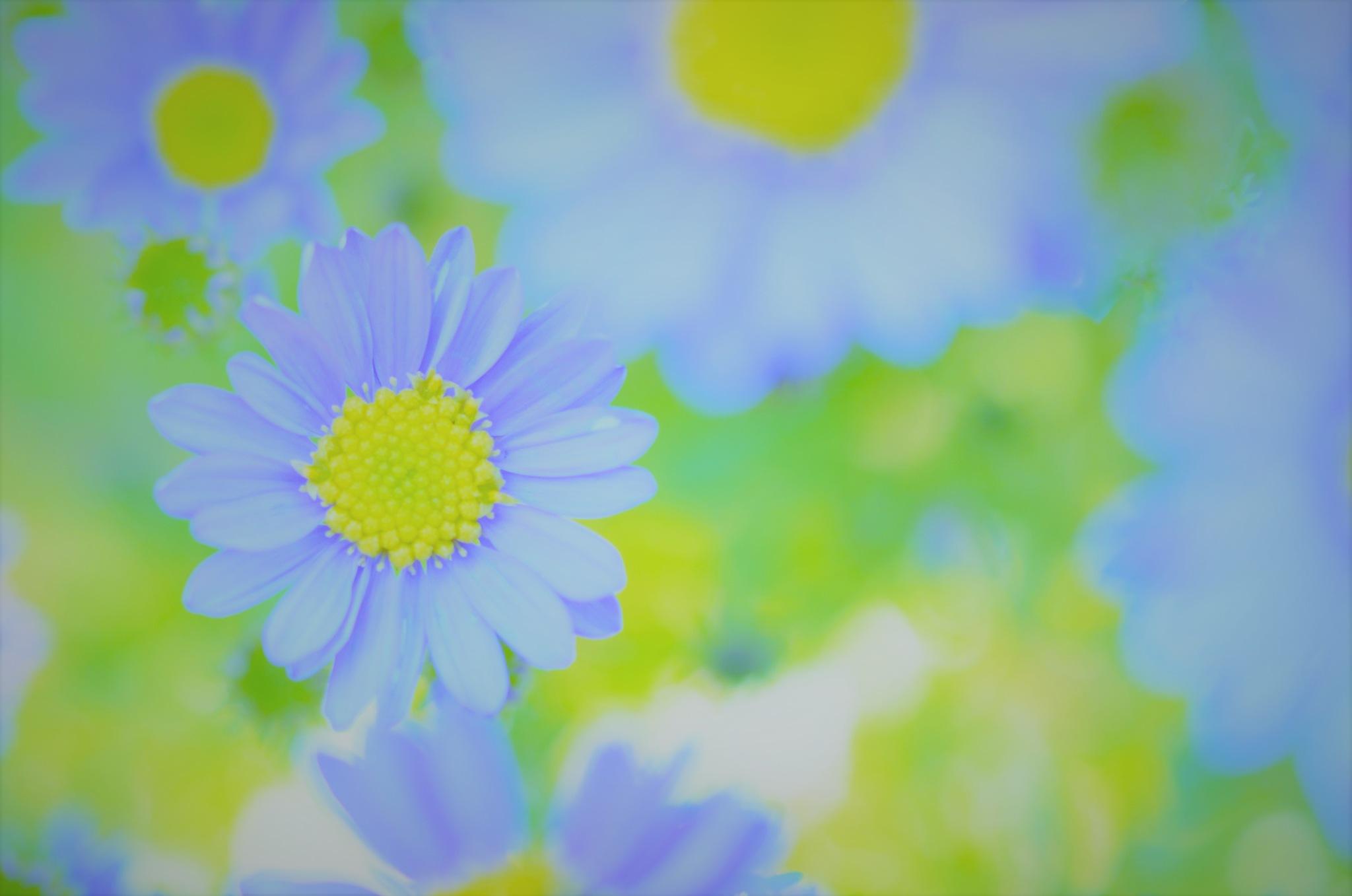 chrysanthemum by Masahiro  Asano