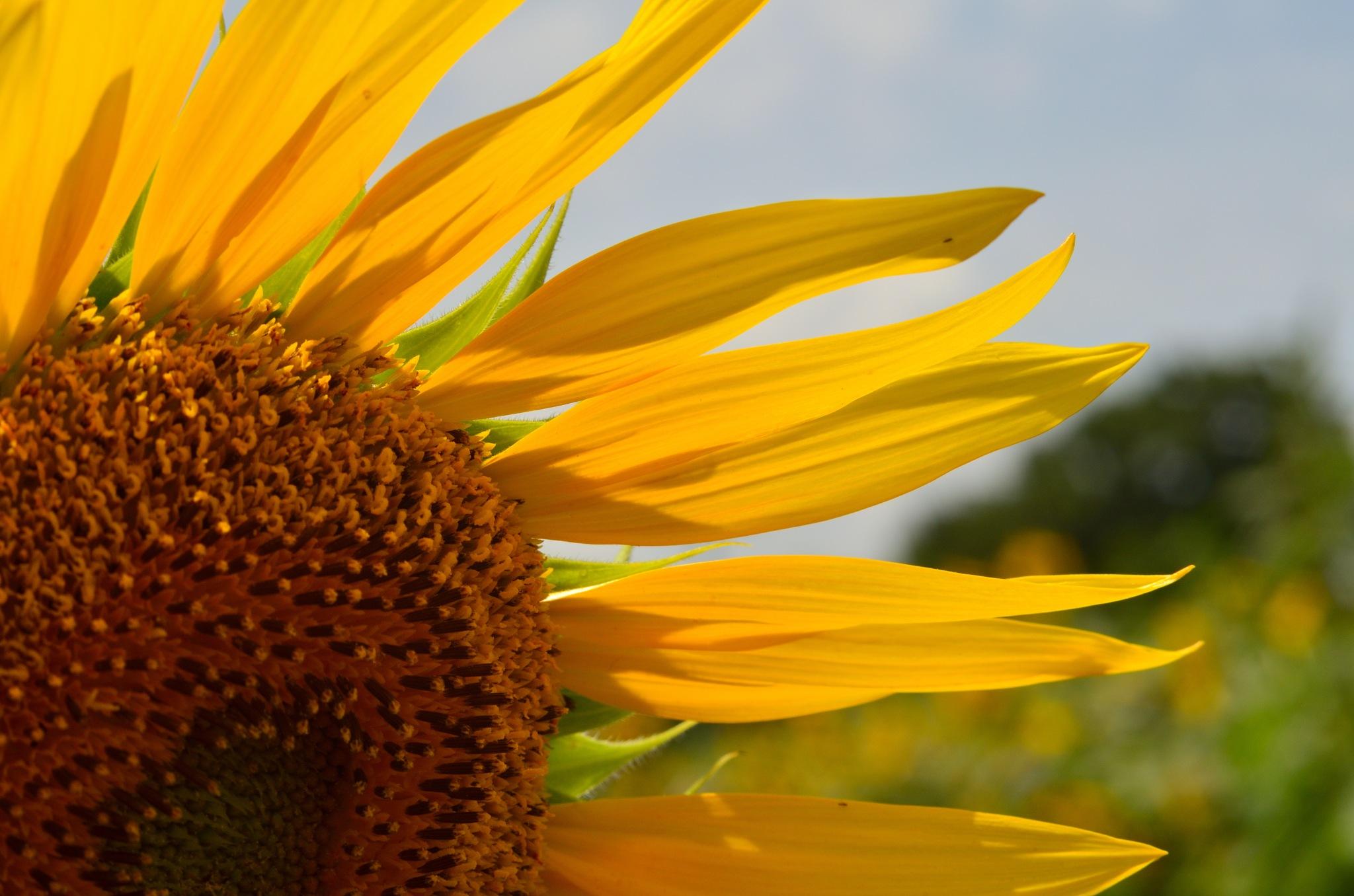 Sunflower by Masahiro  Asano