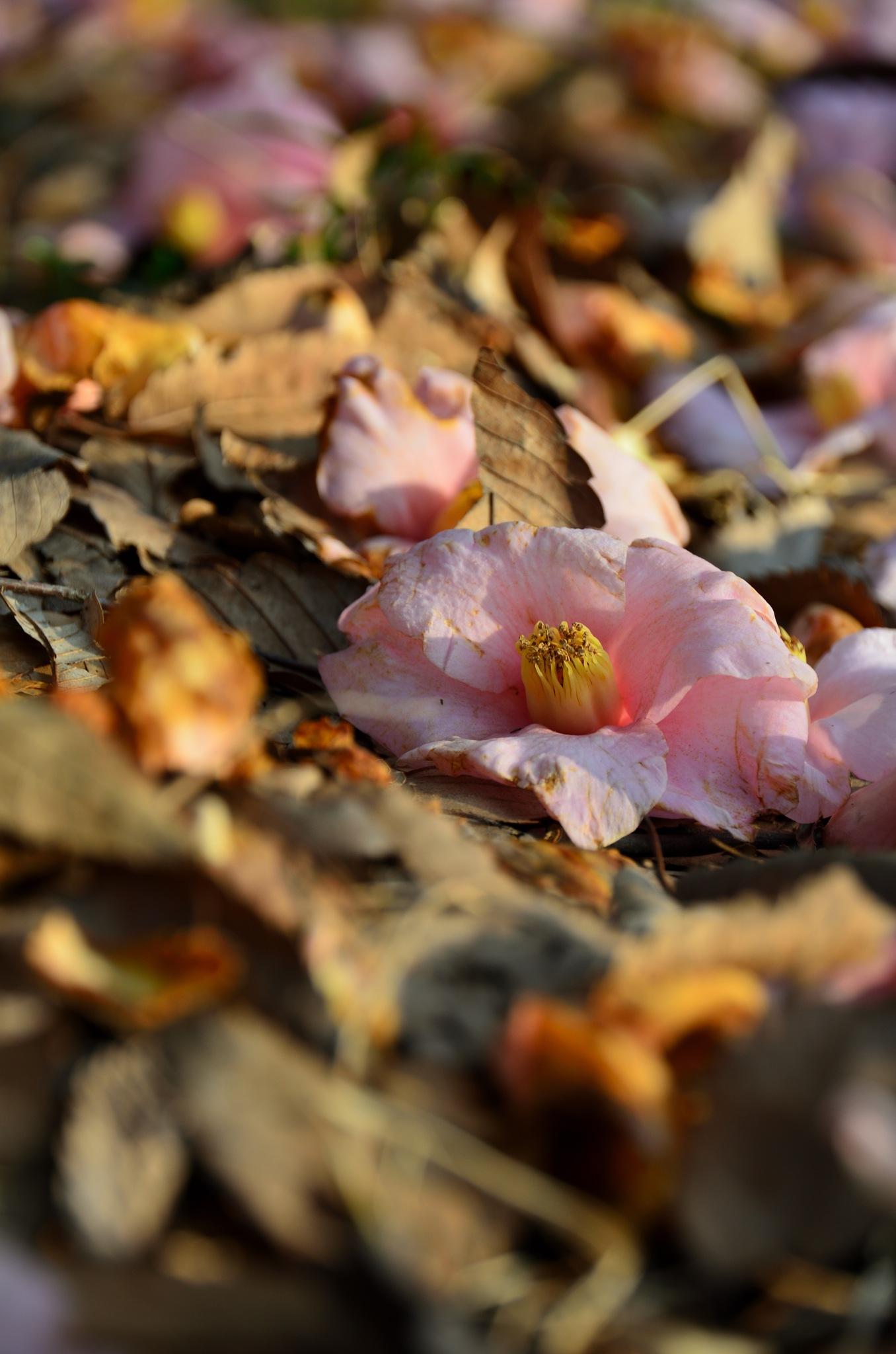 fallen  camellia by Masahiro  Asano
