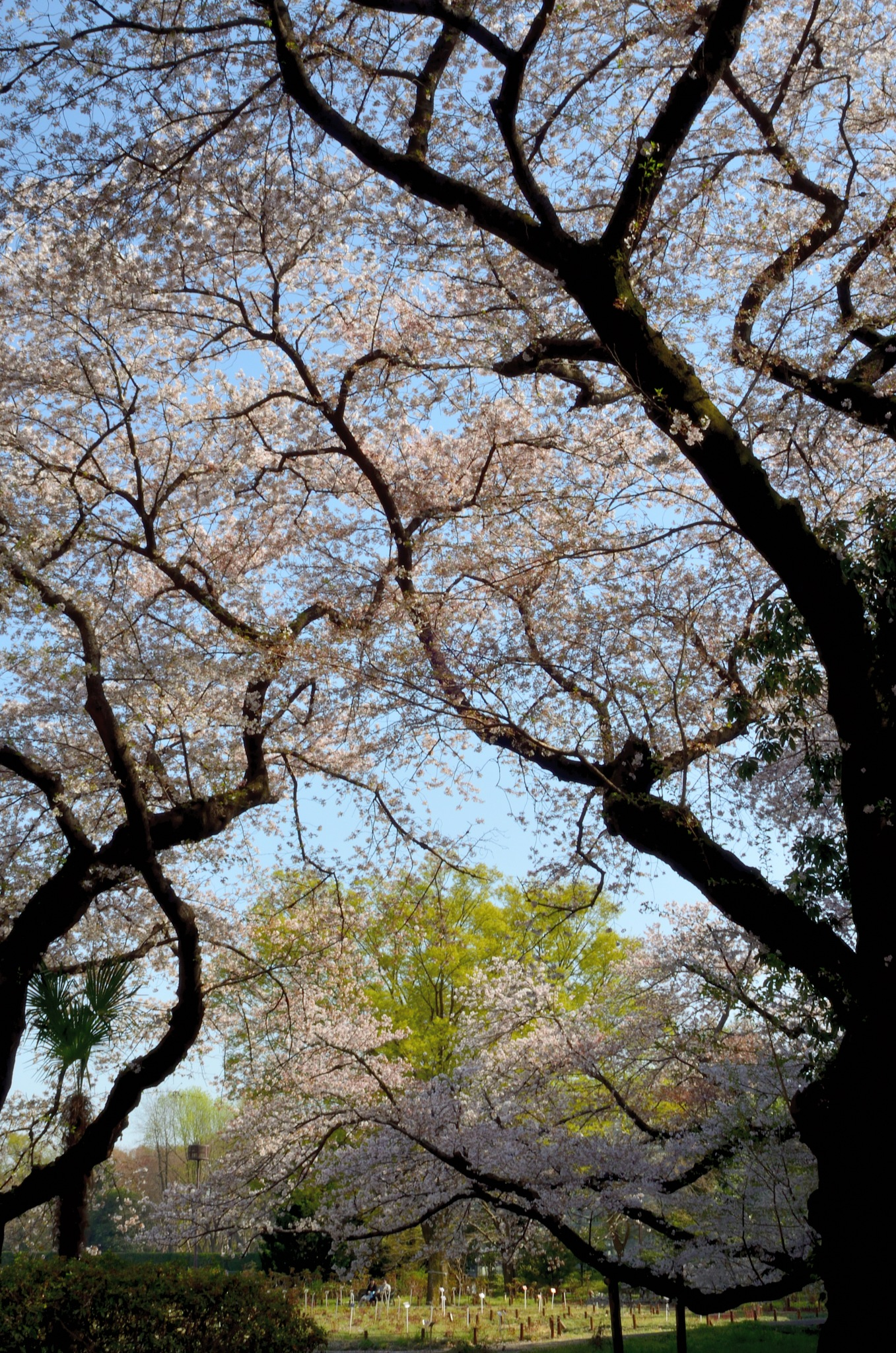 spring in tokyo by Masahiro  Asano