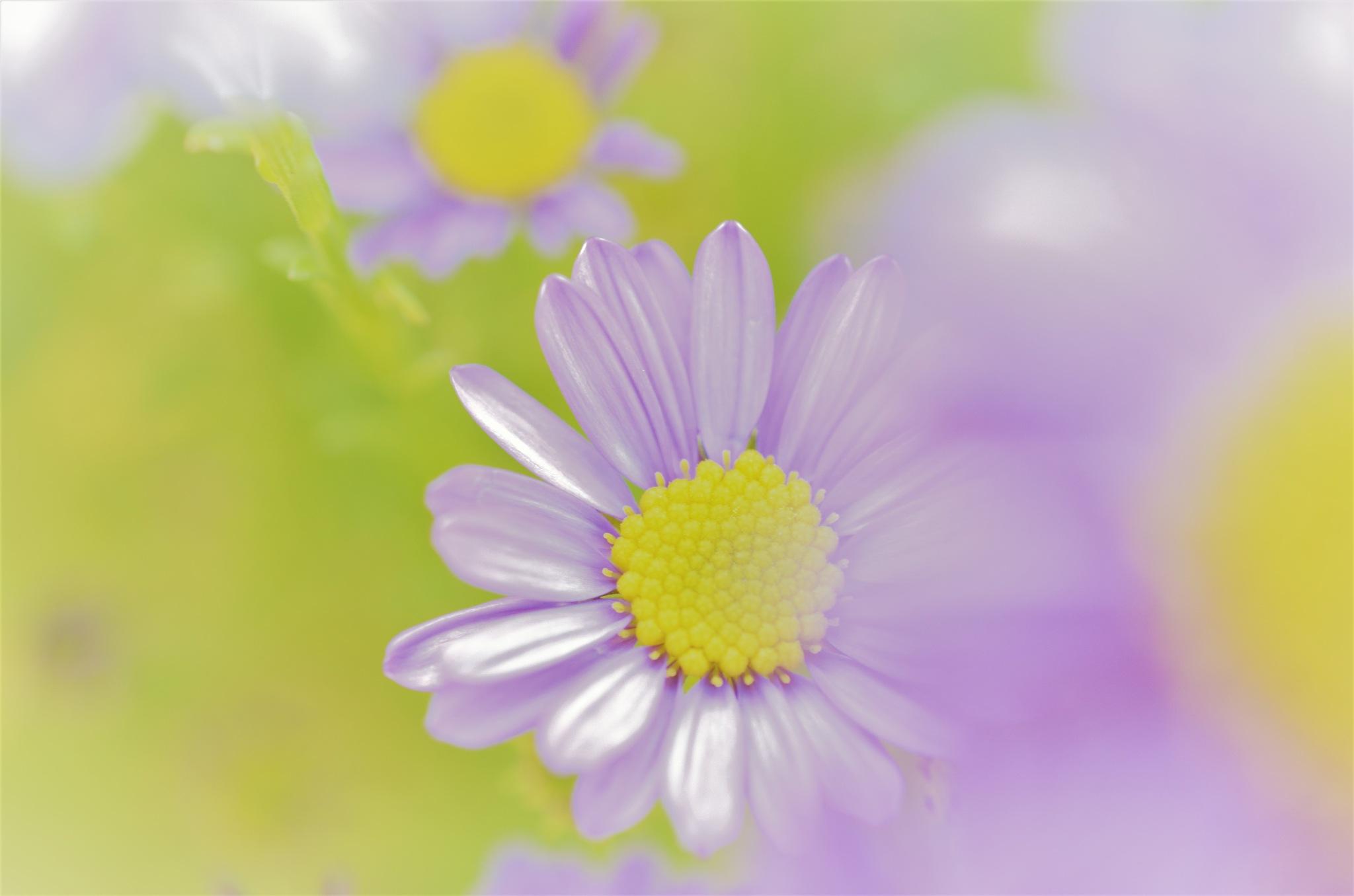 chrysanthemum alternative take by Masahiro  Asano