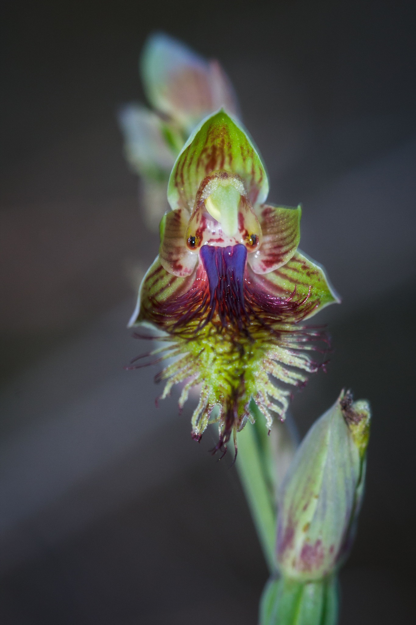 Copper Bearded Orchid by Bronwynne Kidson