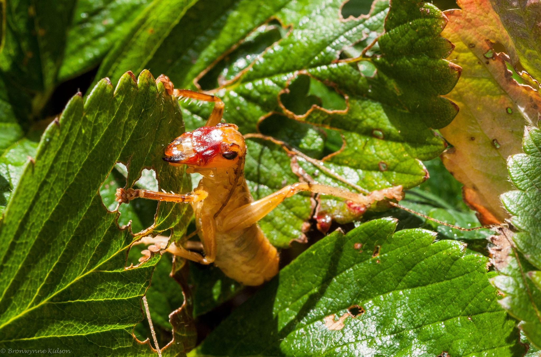 Grasshopper 3 by Bronwynne Kidson