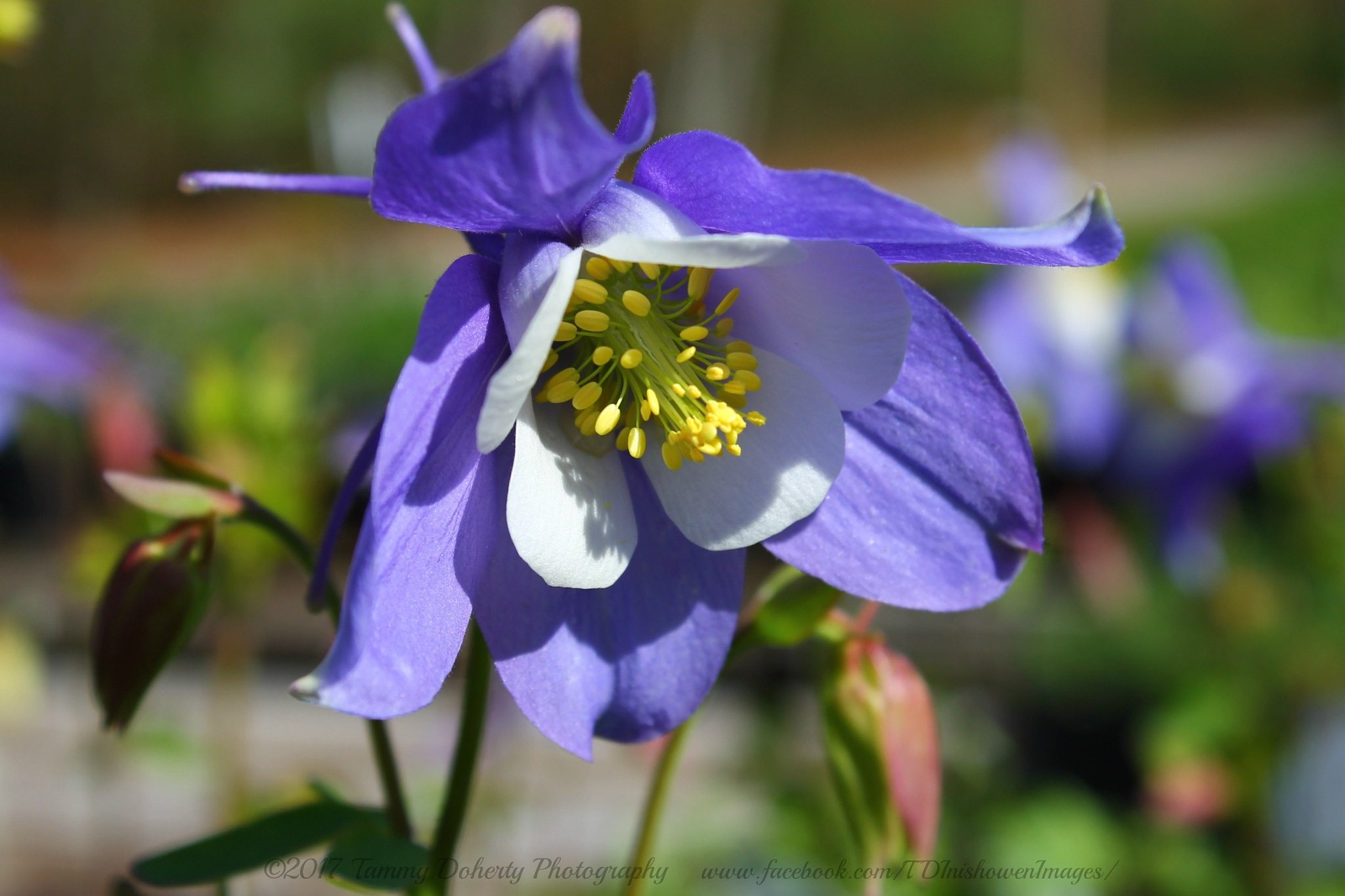 Blue Columbine by TDInishowen