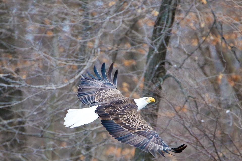 Soaring Eagle by KBishop