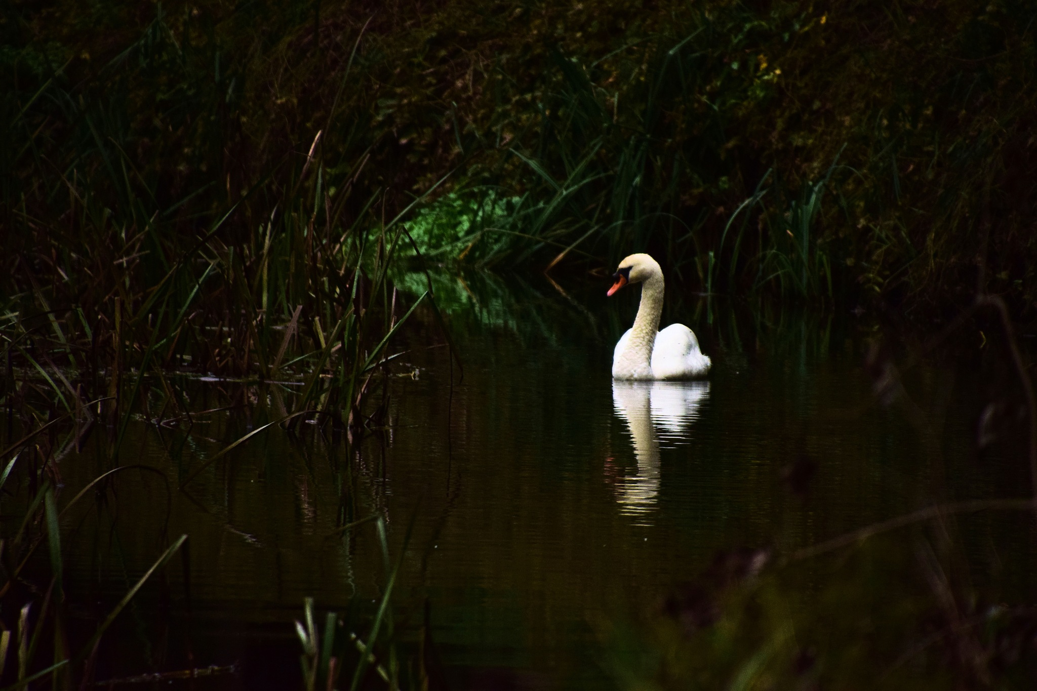 DarK SwaN  by Ian Alastair Trenor Photography