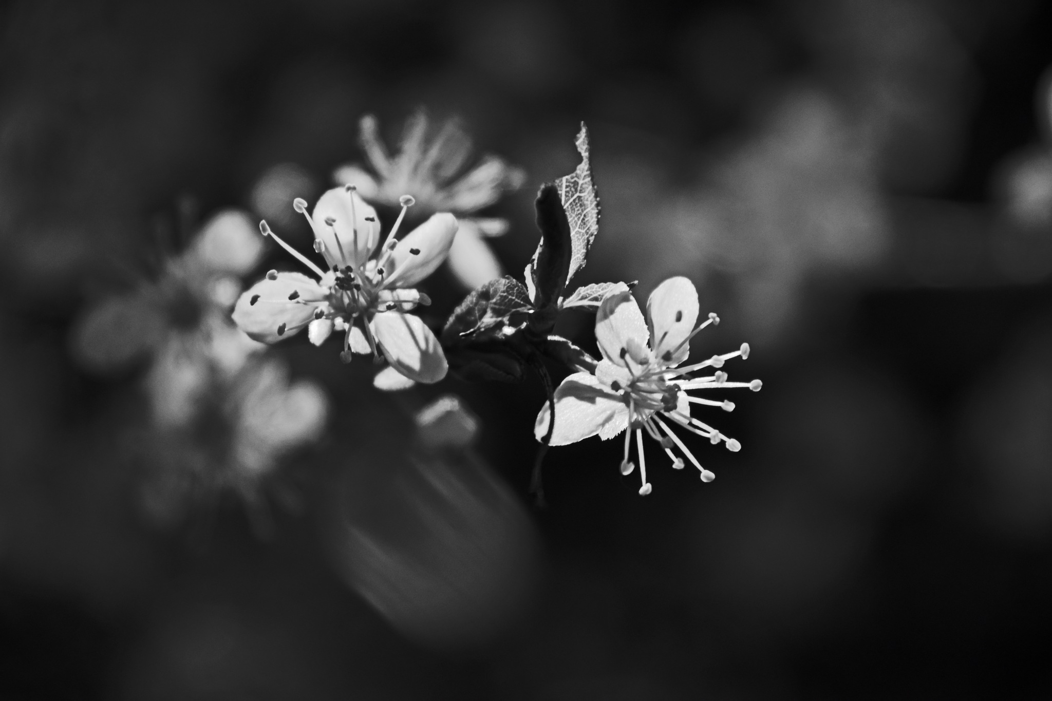blossoms by Ian Alastair Trenor Photography
