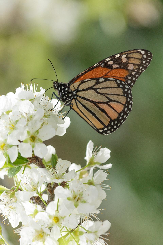 Monarch on the plum blossom by JosVanDeLaar