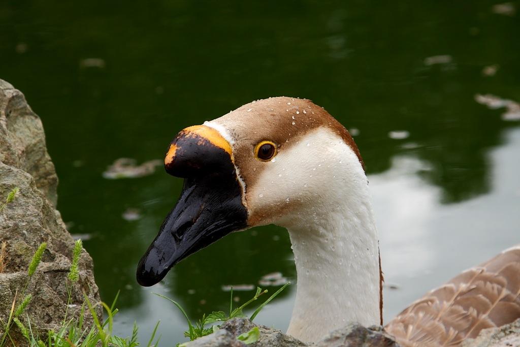 Duck by Andrea Hilzinger