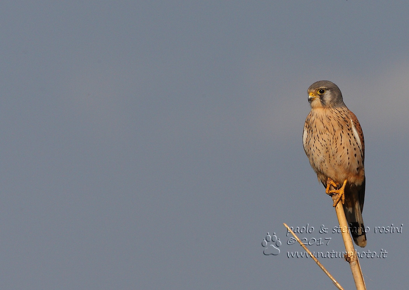 Gheppio - Kestrel ( Falco tinnunculus ) by sterosini