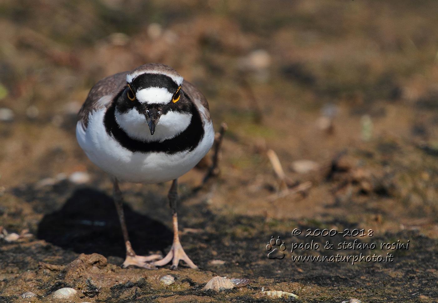 Corriere piccolo  - Little Ringed Plover  -( Charadrius dubius ) by sterosini