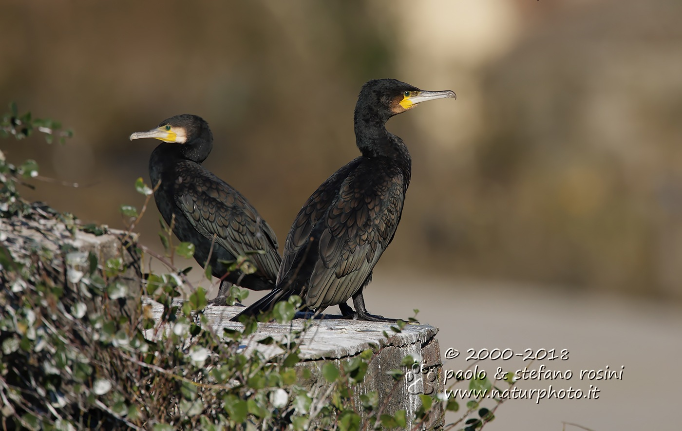 Cormorano -Great Cormorant ( Phalacrocorax carbo ) - su ponte Sublicio Roma  by sterosini