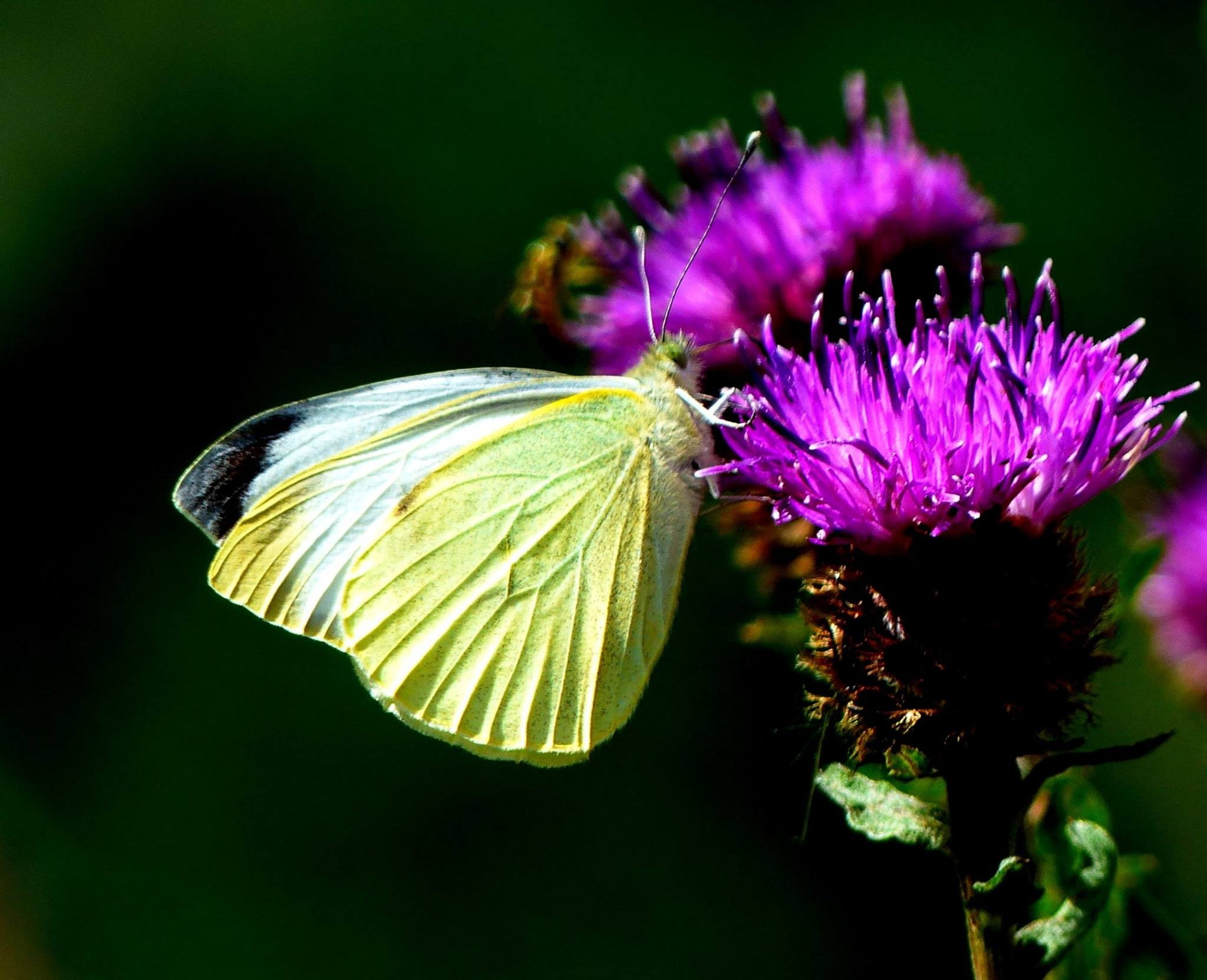 Green Veined White Butterfly  by Ian Popple