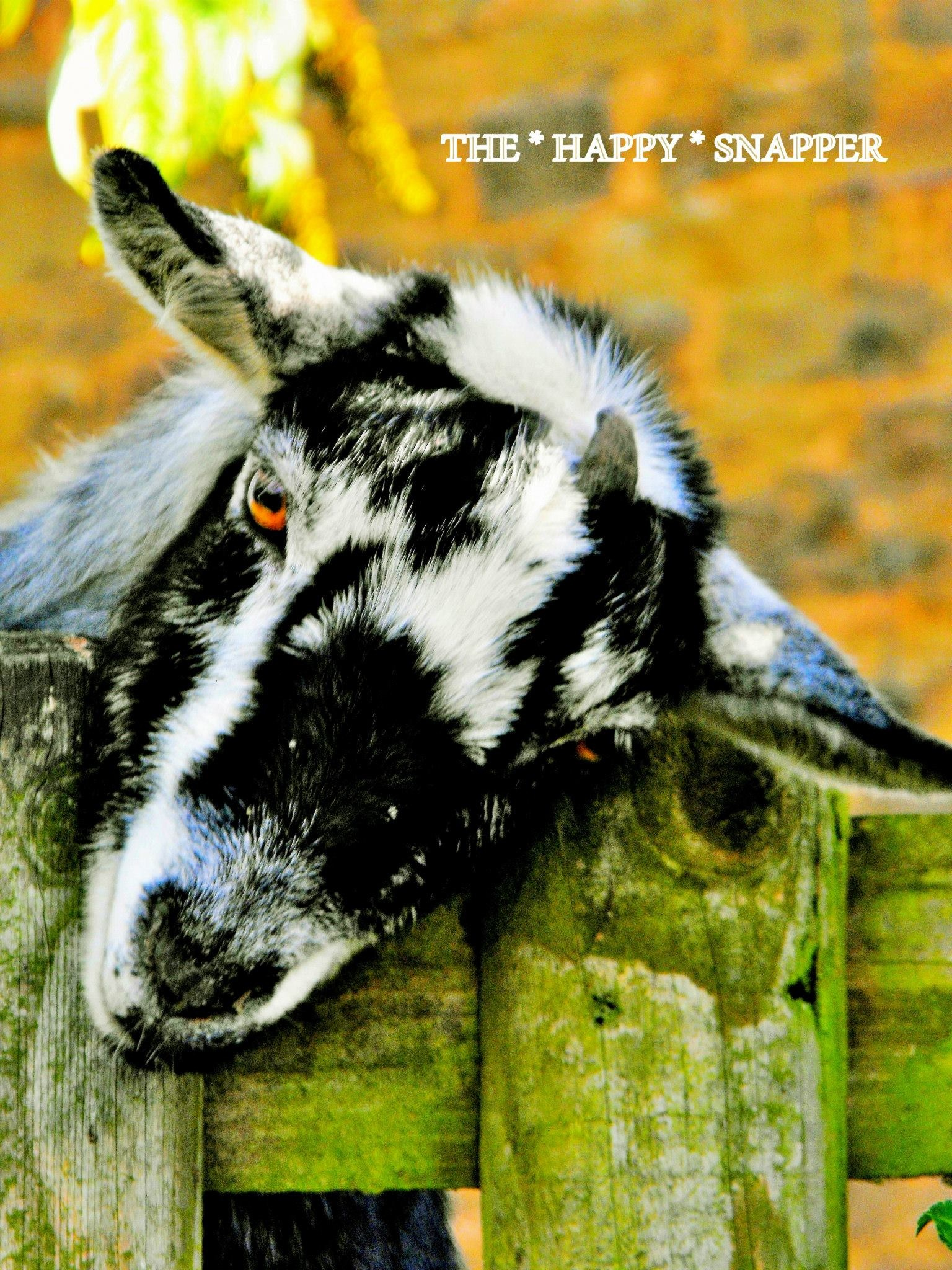 Always Acting The Goat  by Ian Popple