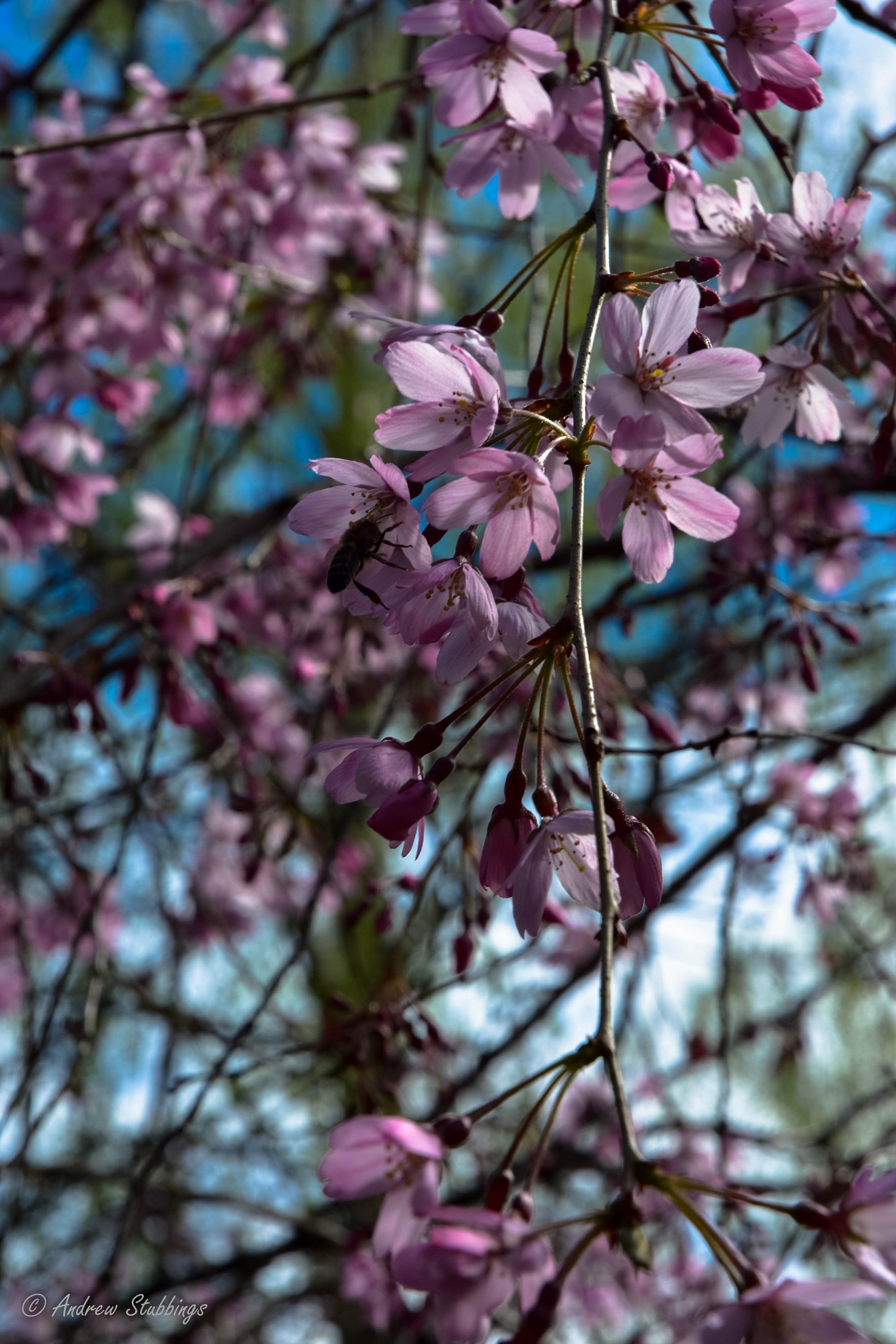 Weeping Cherry by Andrew Stubbings