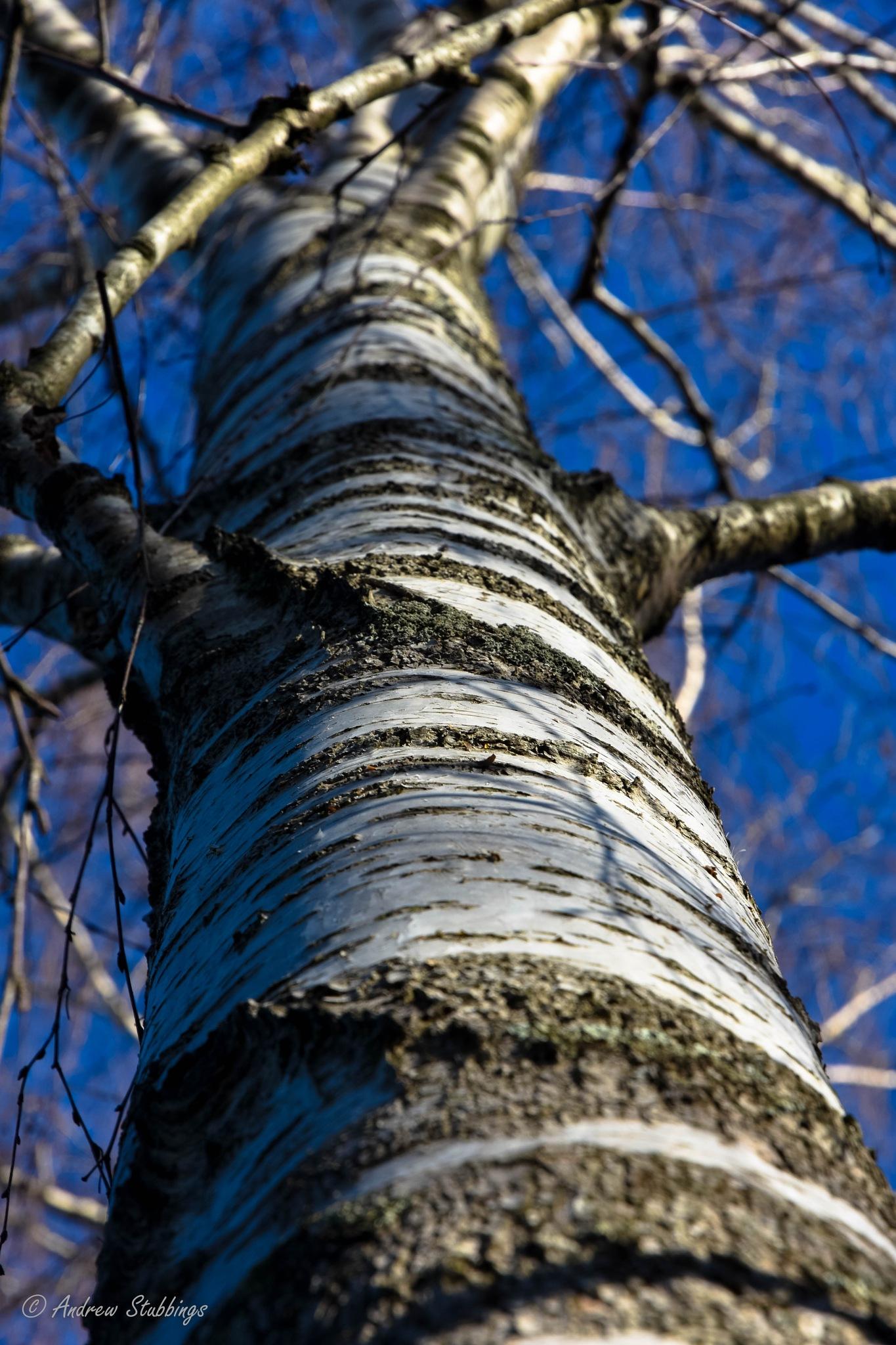 Silver Birch Tree by Andrew Stubbings