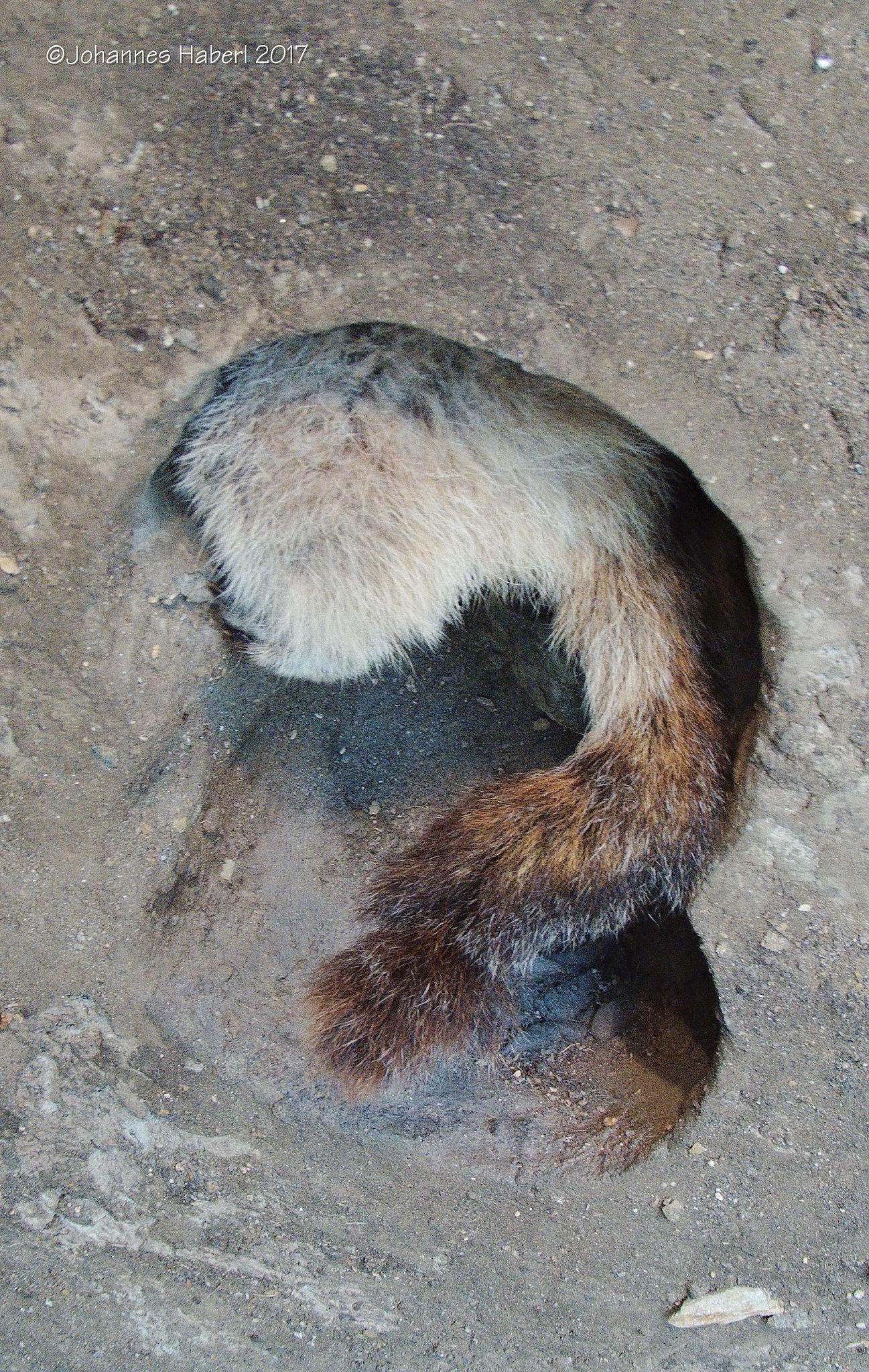 marmot - part of - only inside Wilhelm Swarovski Observation Tower by Johannes Haberl