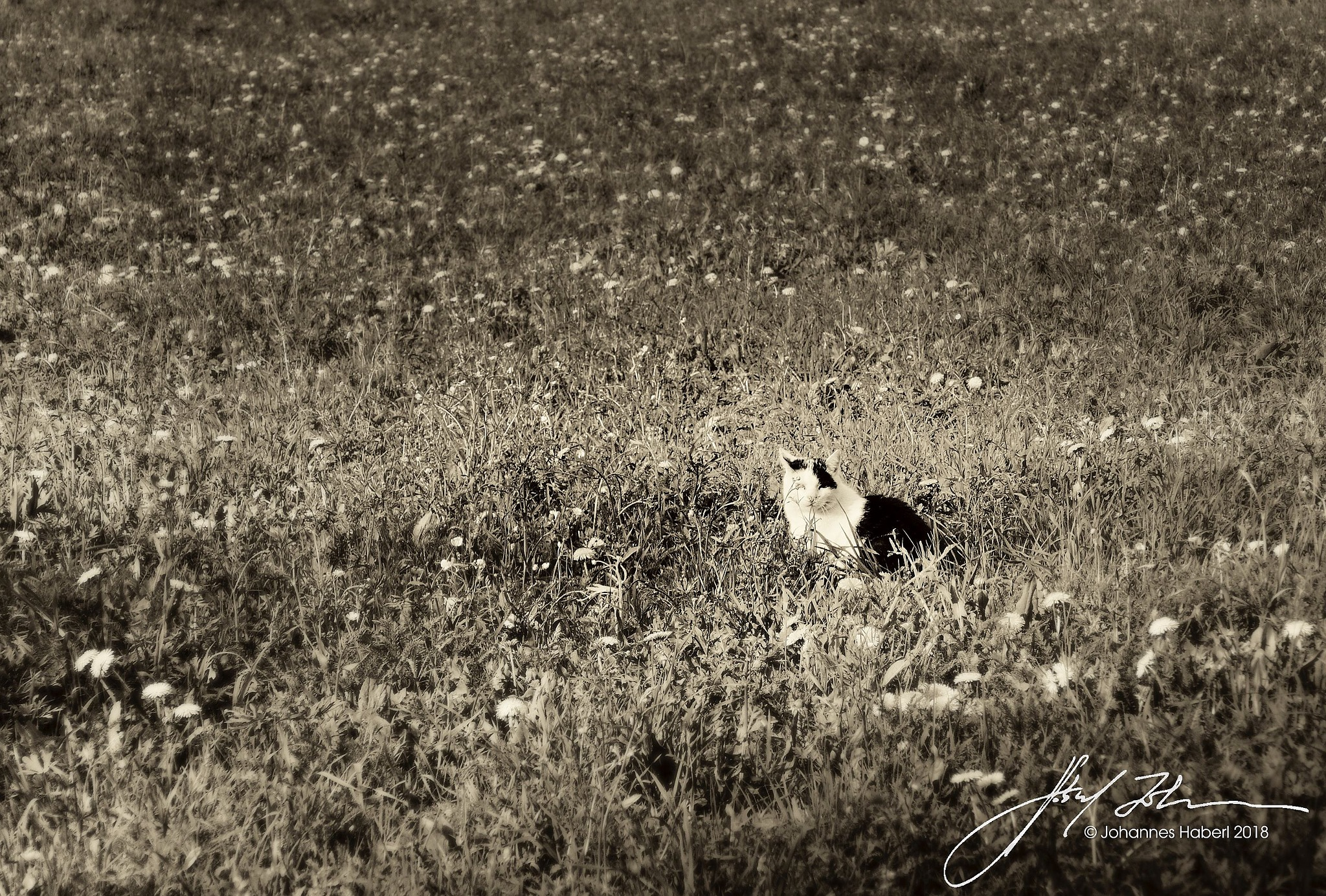 cat in spring meadow / B&W toned by Johannes Haberl