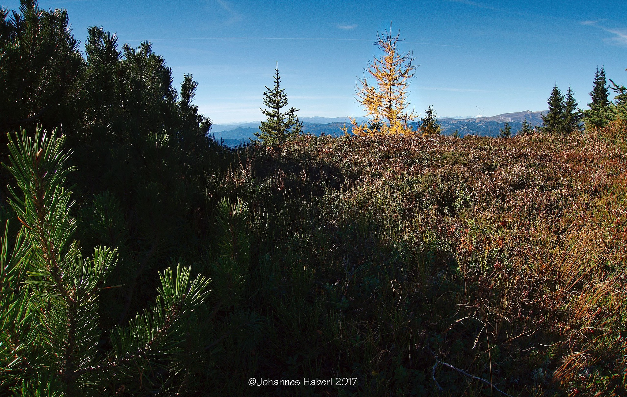 mountain pine & larch by Johannes Haberl