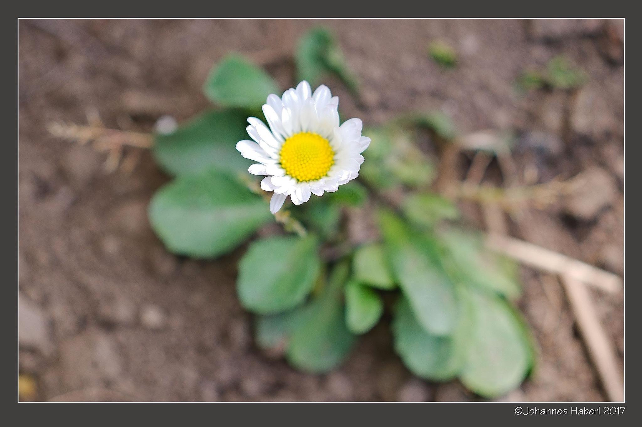 garden - white blossom by Johannes Haberl