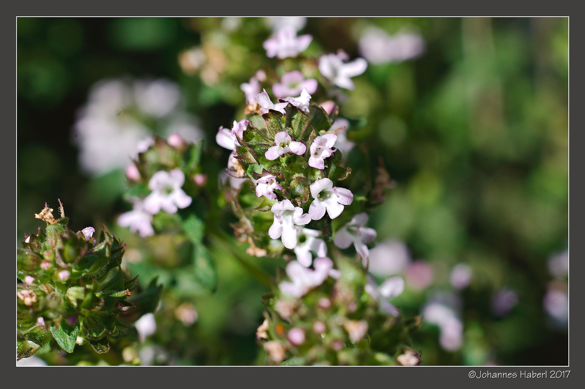 thyme blossoms by Johannes Haberl
