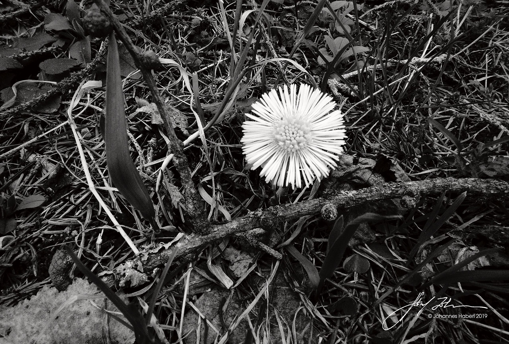 springflower / B&W by Johannes Haberl