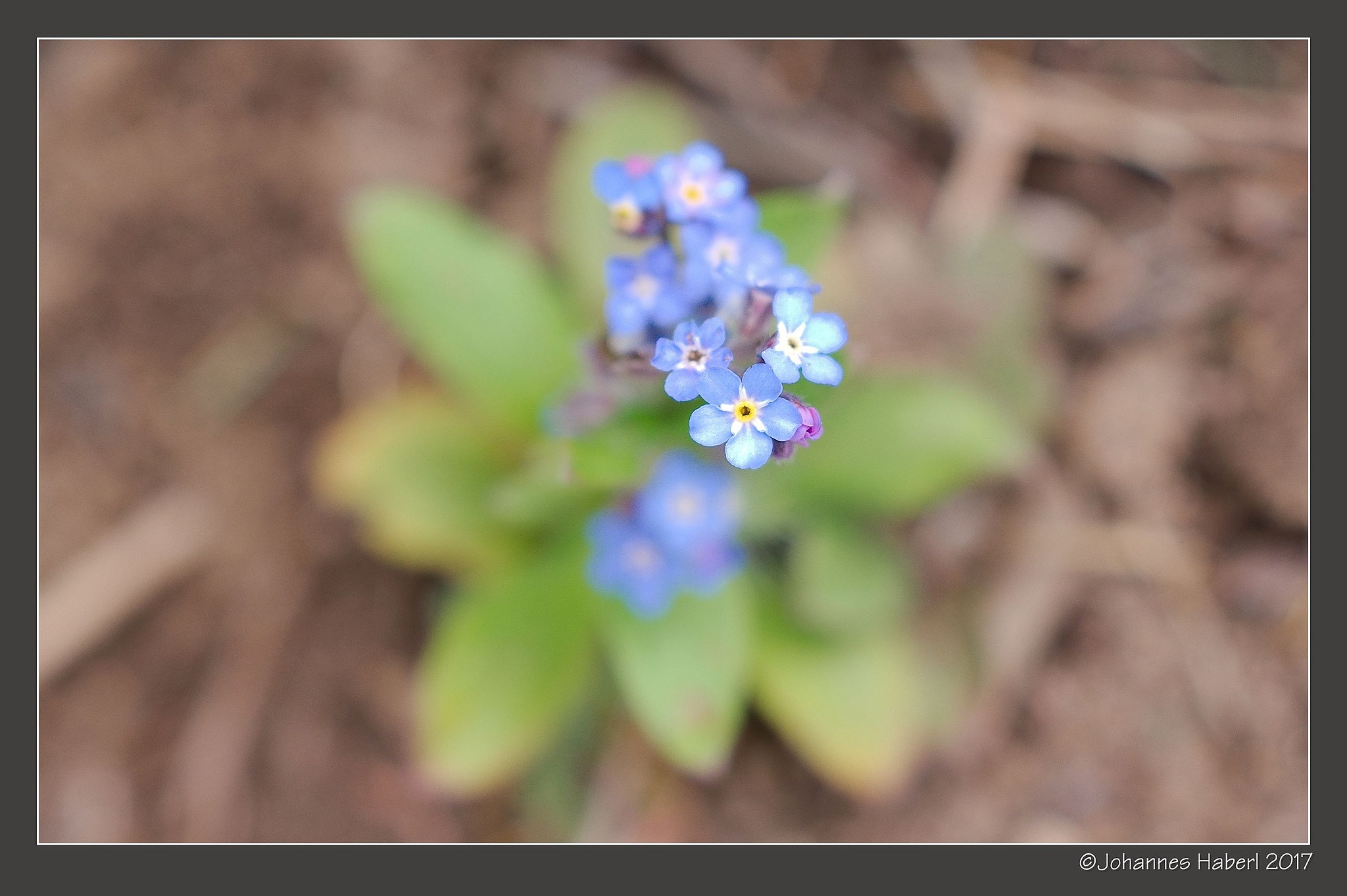 little forget-me-not-flower by Johannes Haberl
