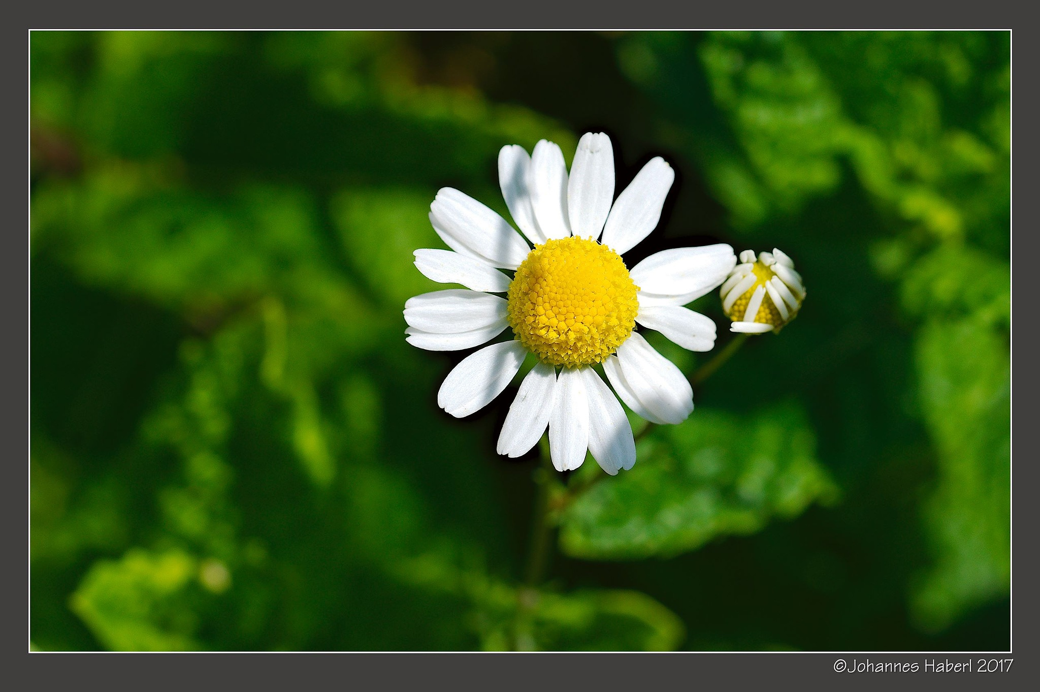 camomile blossom and bud by Johannes Haberl