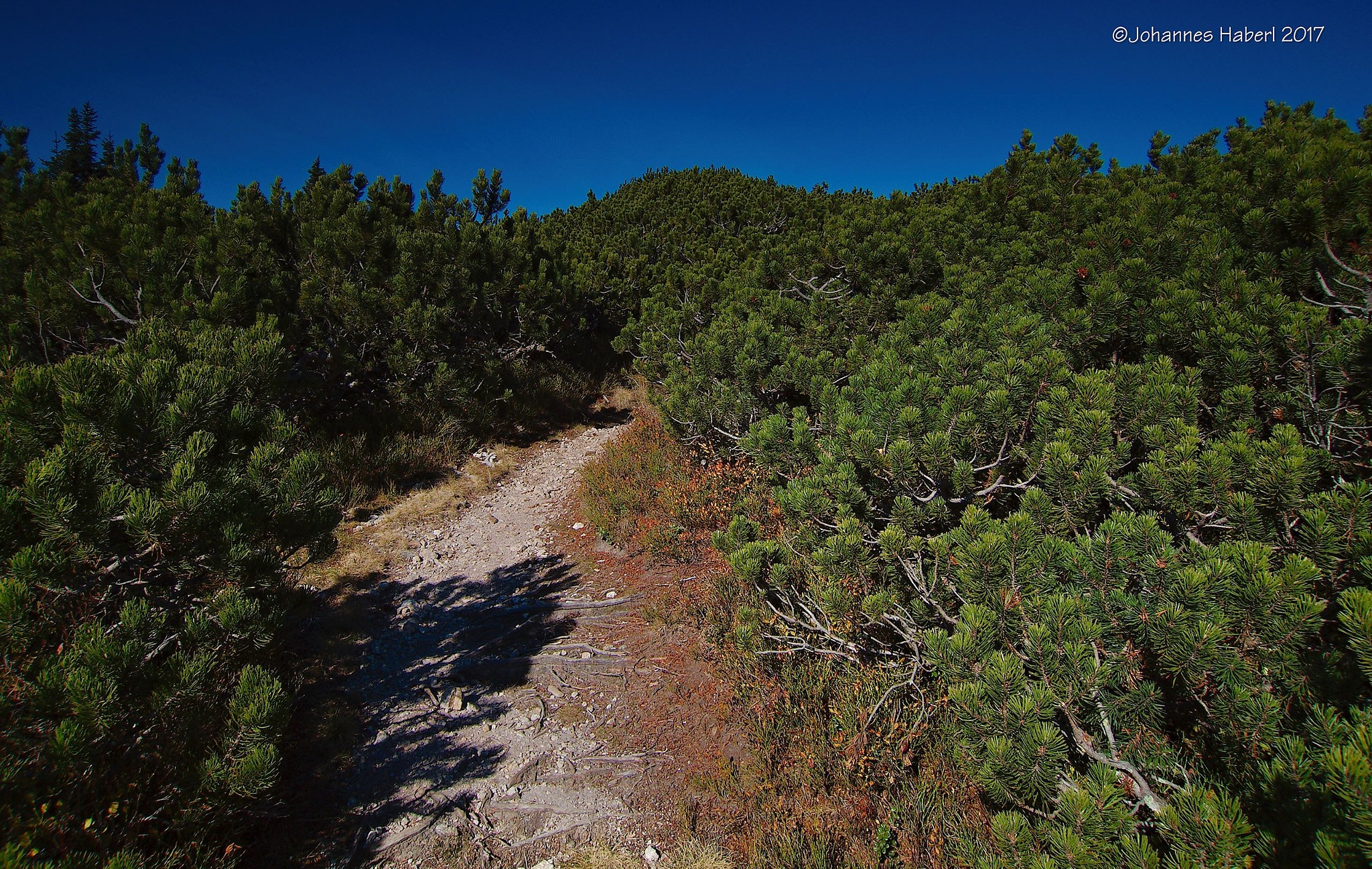 path trough mountain-pine forest by Johannes Haberl