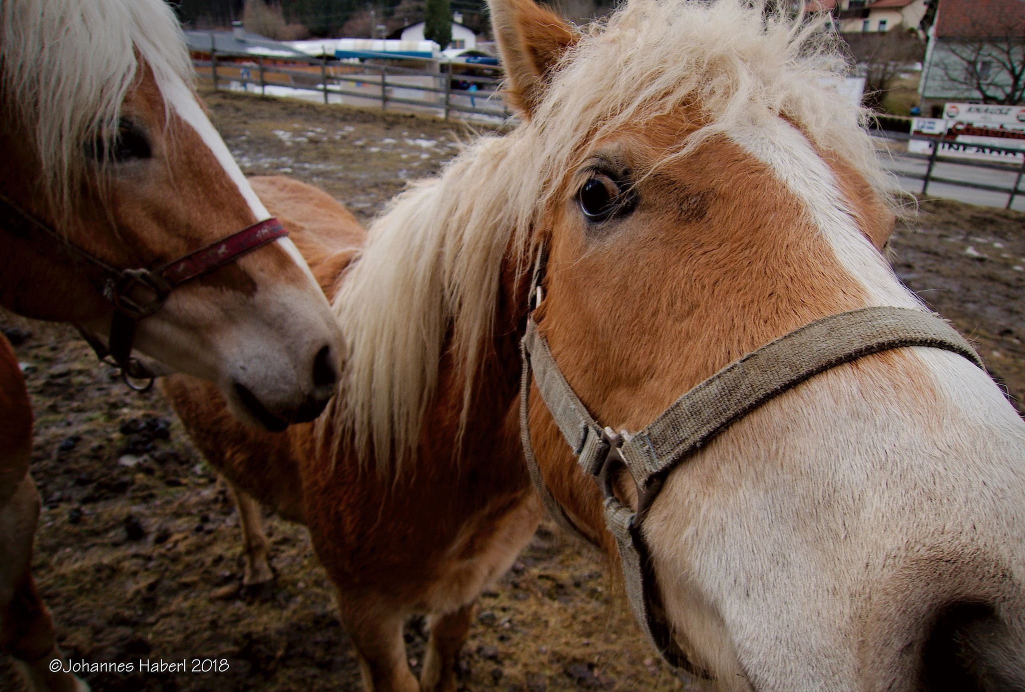 horses, curious about the camera by Johannes Haberl