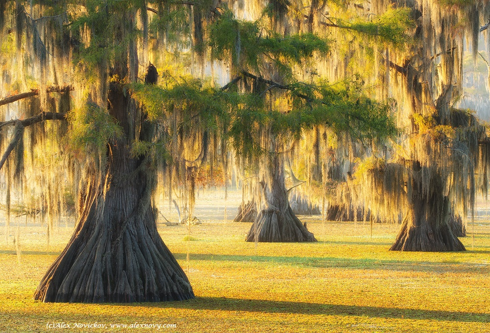 The cypresses of Caddo by alexandernovickov