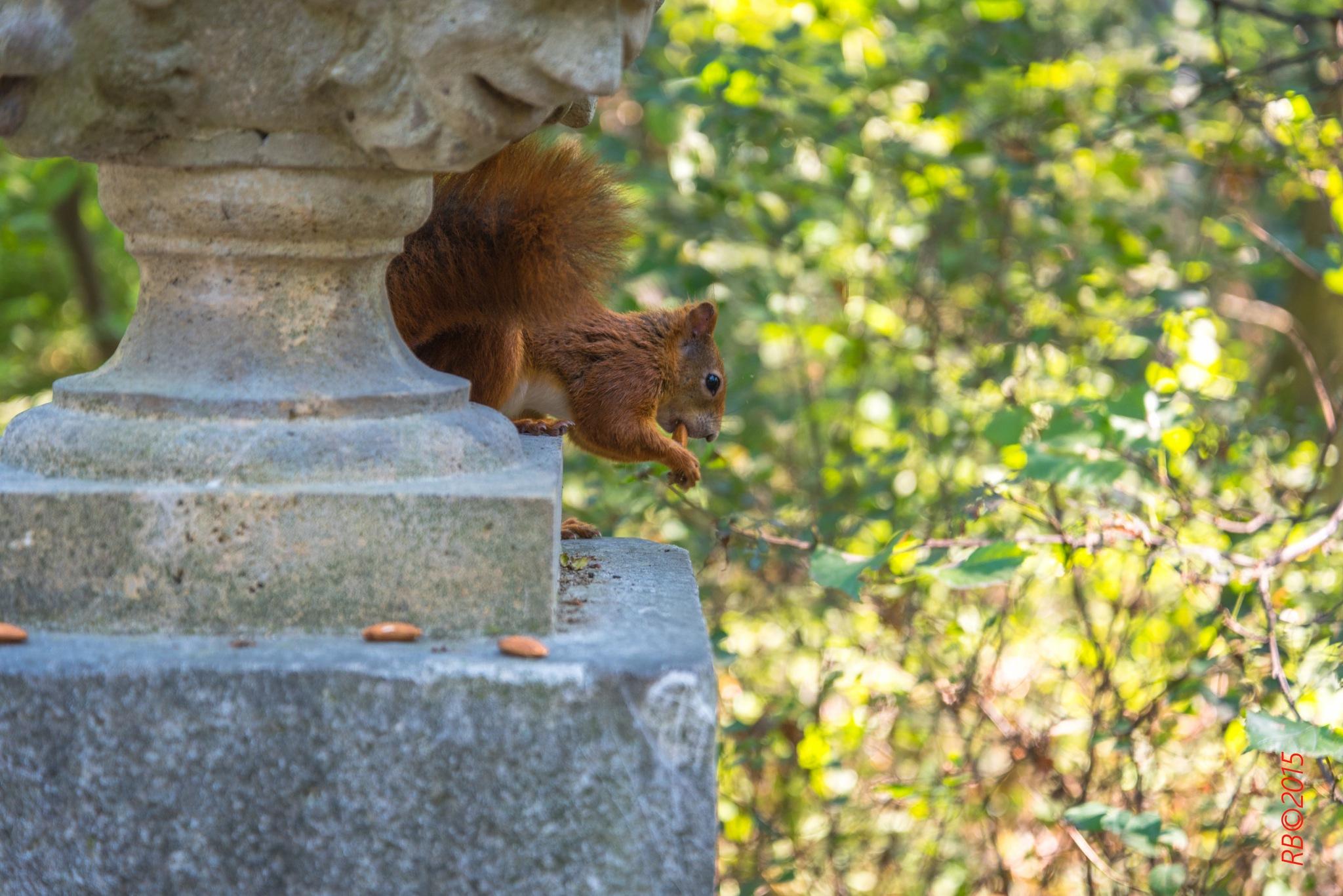 Eichhörnchen by > Robert Braun <