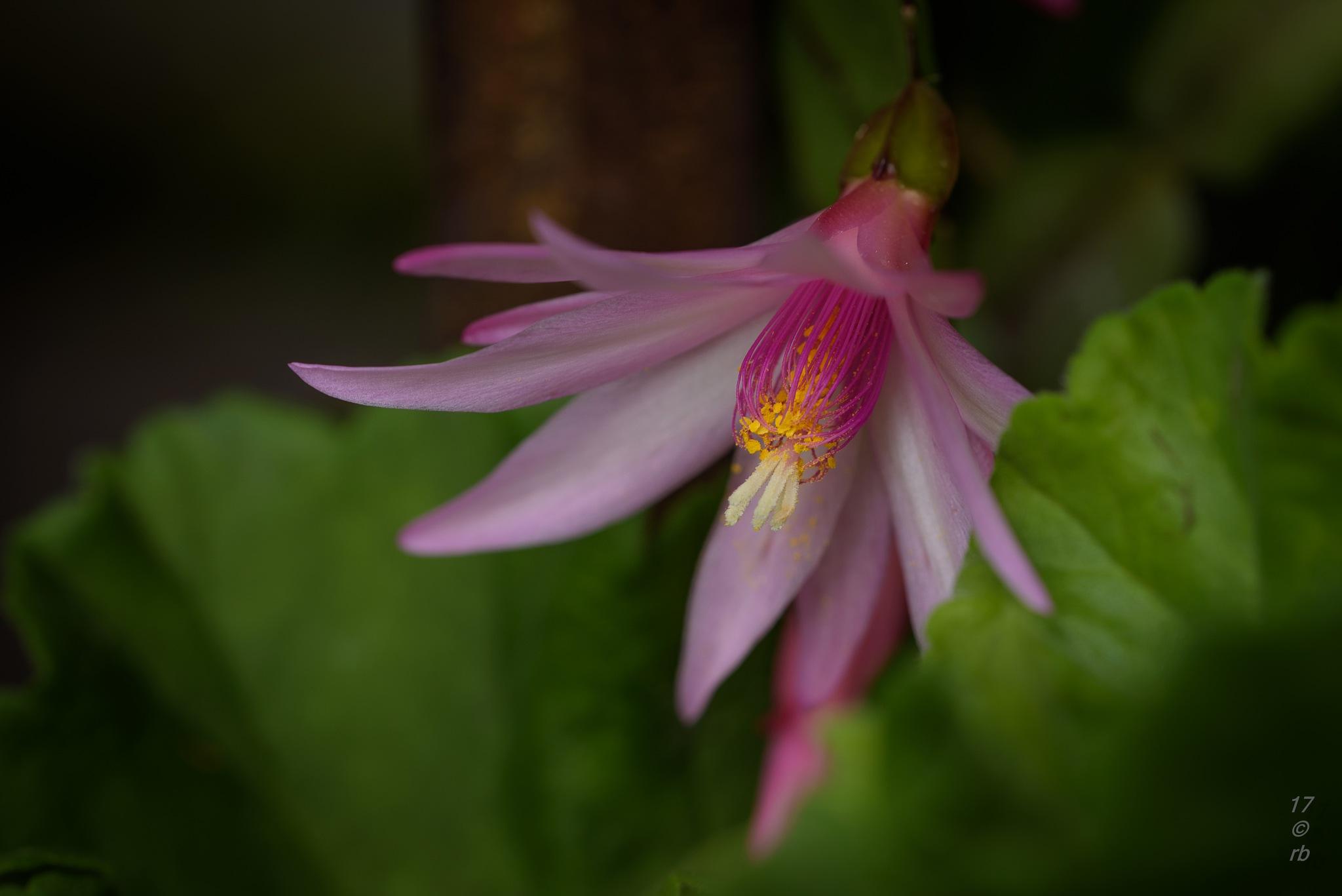 Die Kaktusblüte by > Robert Braun <