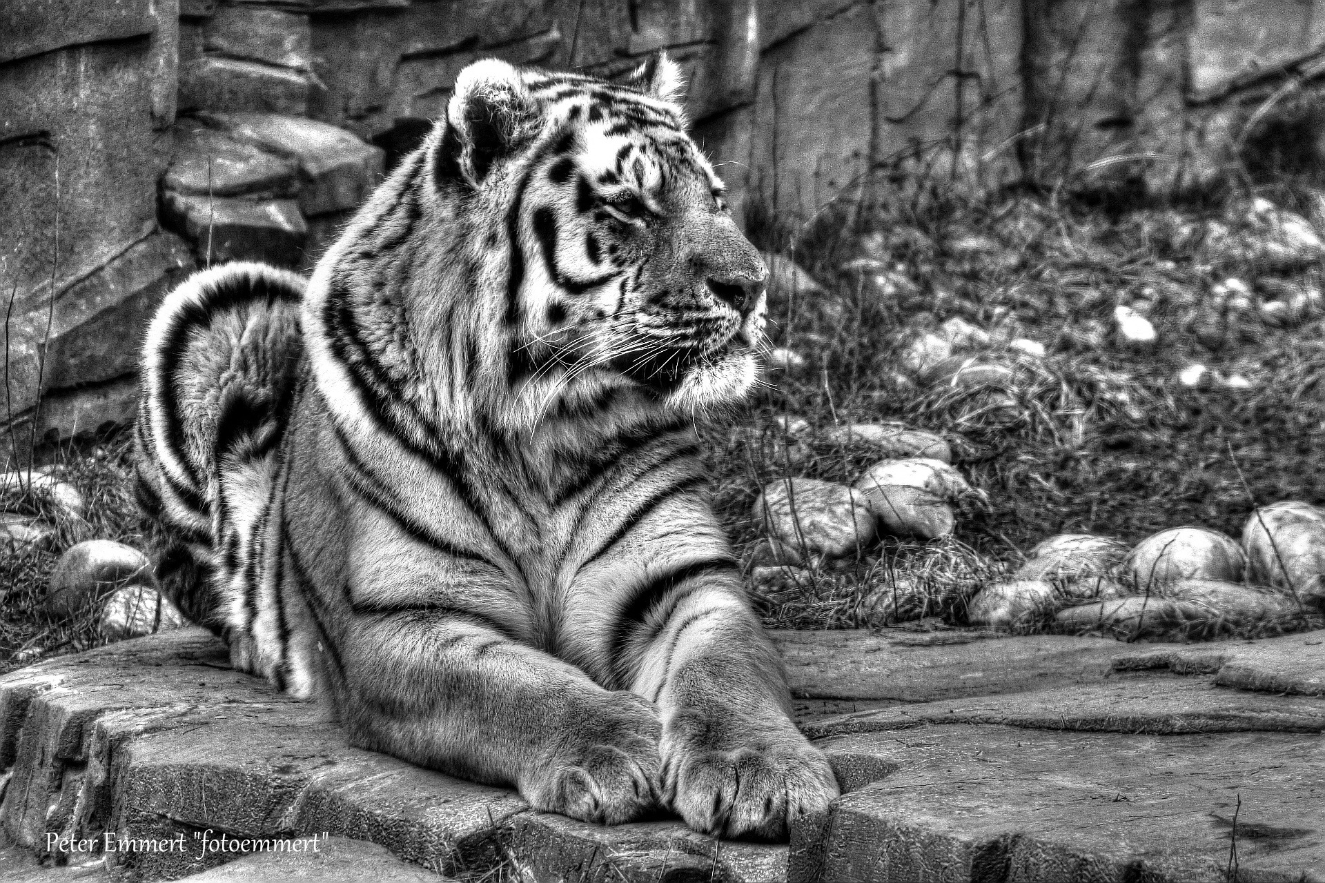 "Sibirischer Tiger ""Panthera tigris altaica"" by Peter Emmert"